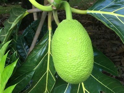 Tad Bartimus: Why Breadfruit Belongs On Our Tables