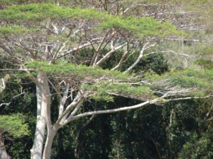 'Biocontrol Agents' Could Be Used To Kill Albizia In Hawaii