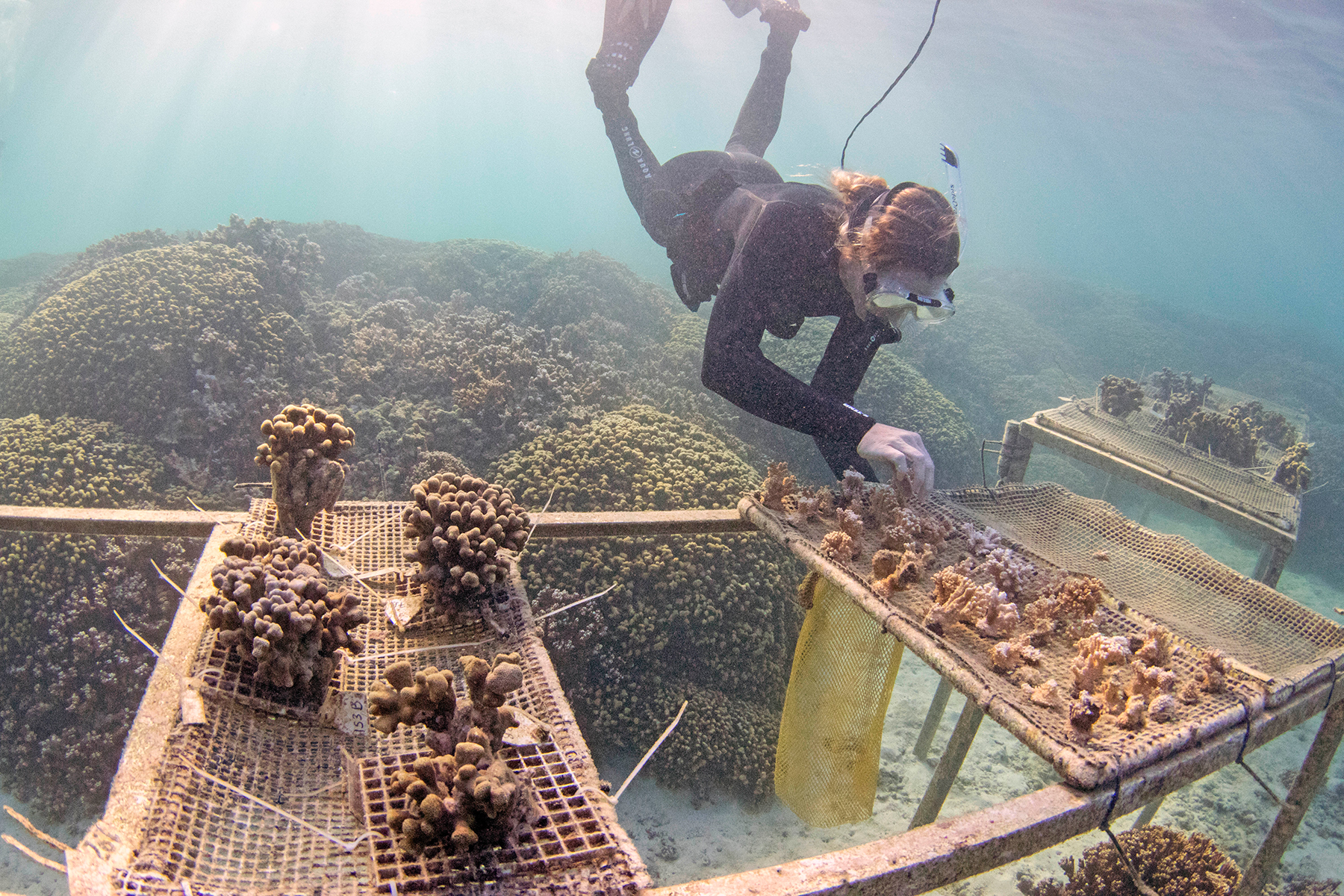 <p>Scientists are working on ways to make corals more resilient to a rapidly warming ocean.</p>