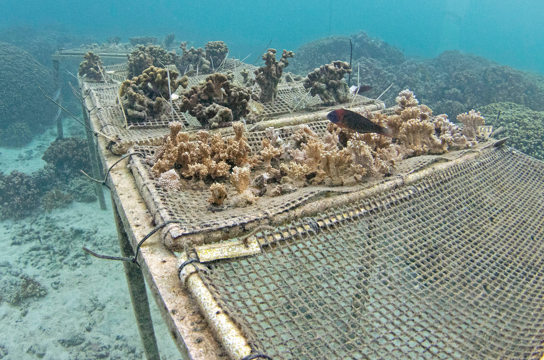 <p>Corals that survived a massive bleaching event in 2015 are being bred with the hope that new colonies can be established to resist climate change.</p>