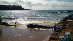 Mass Stranding Of Whales On Kauai