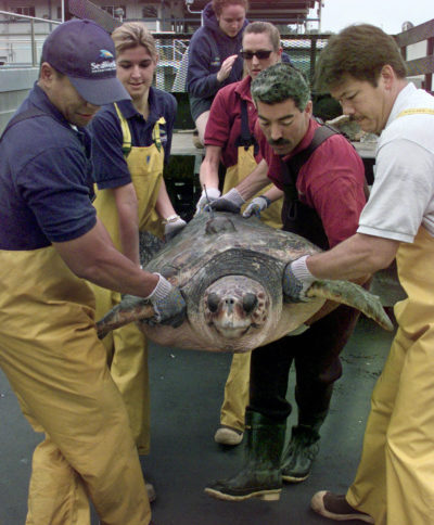 FILE - In this Oct. 1, 2000 file photo, researchers move one of three 250-pound loggerhead sea turtles to a boat that will release them into the Pacific Ocean off San Diego. A U.S. appeals court said Wednesday, Dec. 27, 2017, that federal agencies erred in allowing expansion of Hawaii's longline swordfish industry because it harmed endangered sea turtles. A 9th U.S. Circuit Court of Appeals panel ruled the National Marine Fisheries Service failed to consider scientific data that showed the loggerhead turtle population would significantly decline. (AP Photo/Bob Grieser, File)