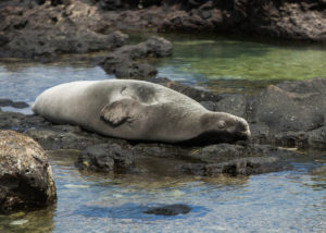3 More Monk Seals Die From Disease Linked To Feral Cats