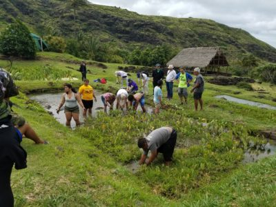 Taro Patches Are Classrooms For These Nanakuli Students