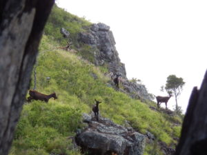 Goat Hunters Say State's Aerial Shooting Threatens A Traditional Food Source