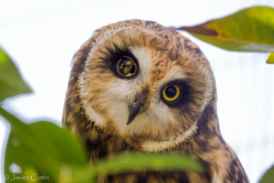 The Fight To Save A Sacred Owl In West Oahu