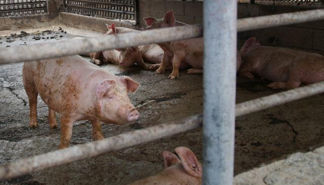 Jay's Hog Farm Waianae