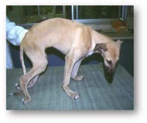 Big Island: Rat Lungworm Threatens Animals — Especially Puppies