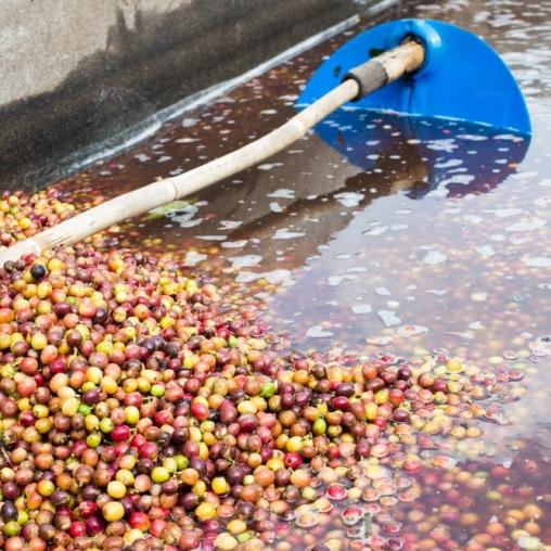 Compelling Coffee El Salvador San Jose Lactic
