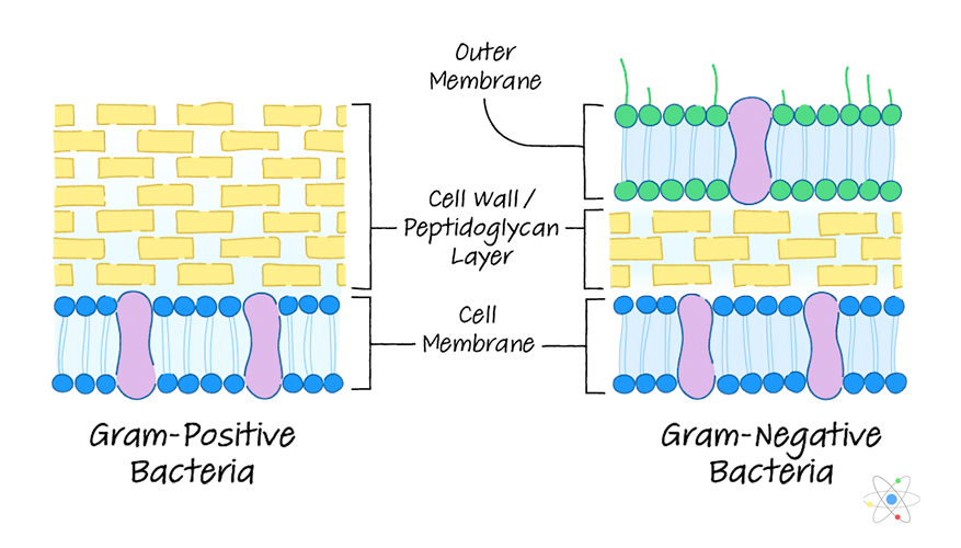 Cell Wall Definition Structure Function With Diagram