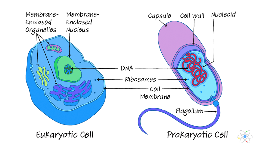 Prokaryotic vs Eukaryotic Cells: Similarities & Differences