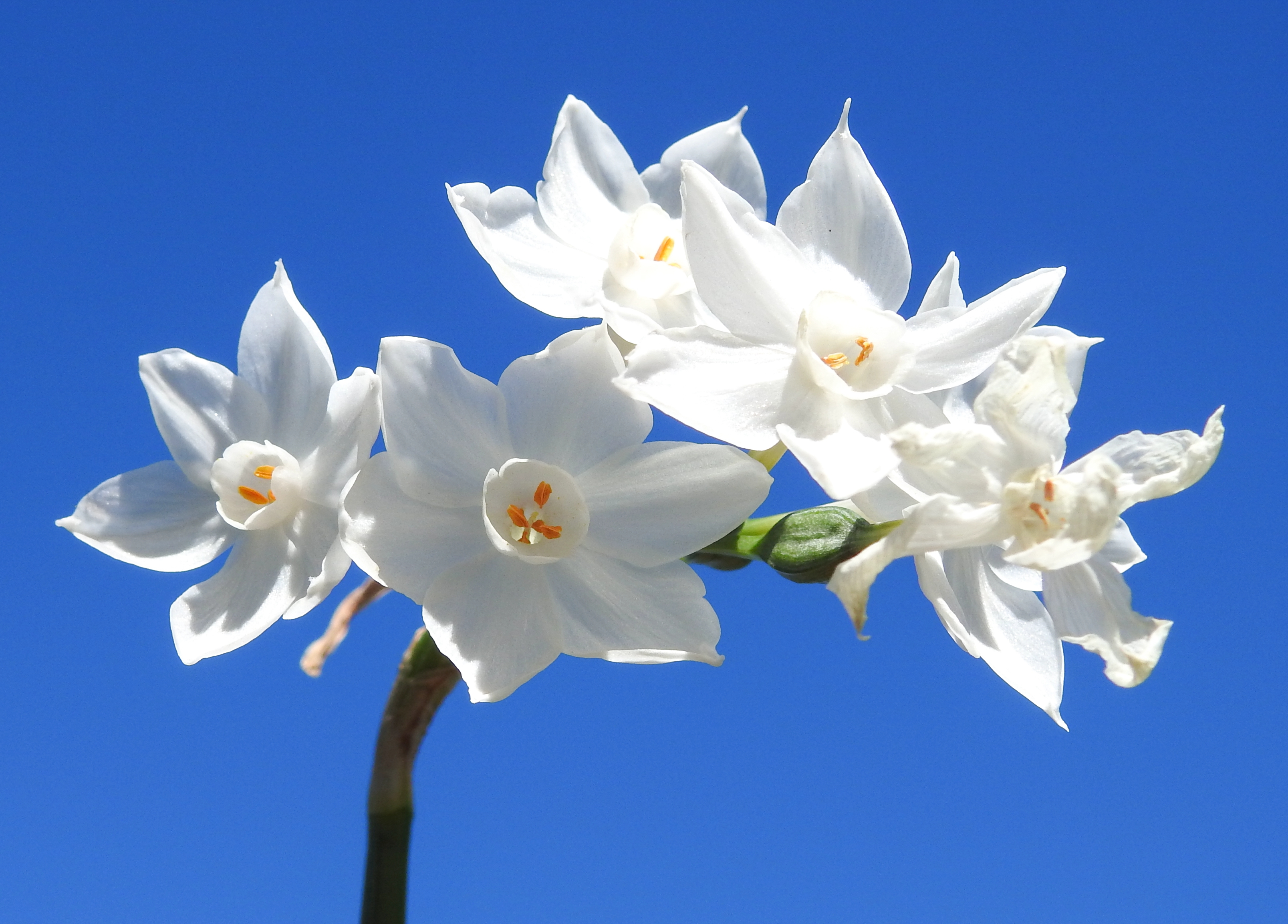 How to Make a Paperwhite Narcissus Bloom Again | Home Guides | SF Gate