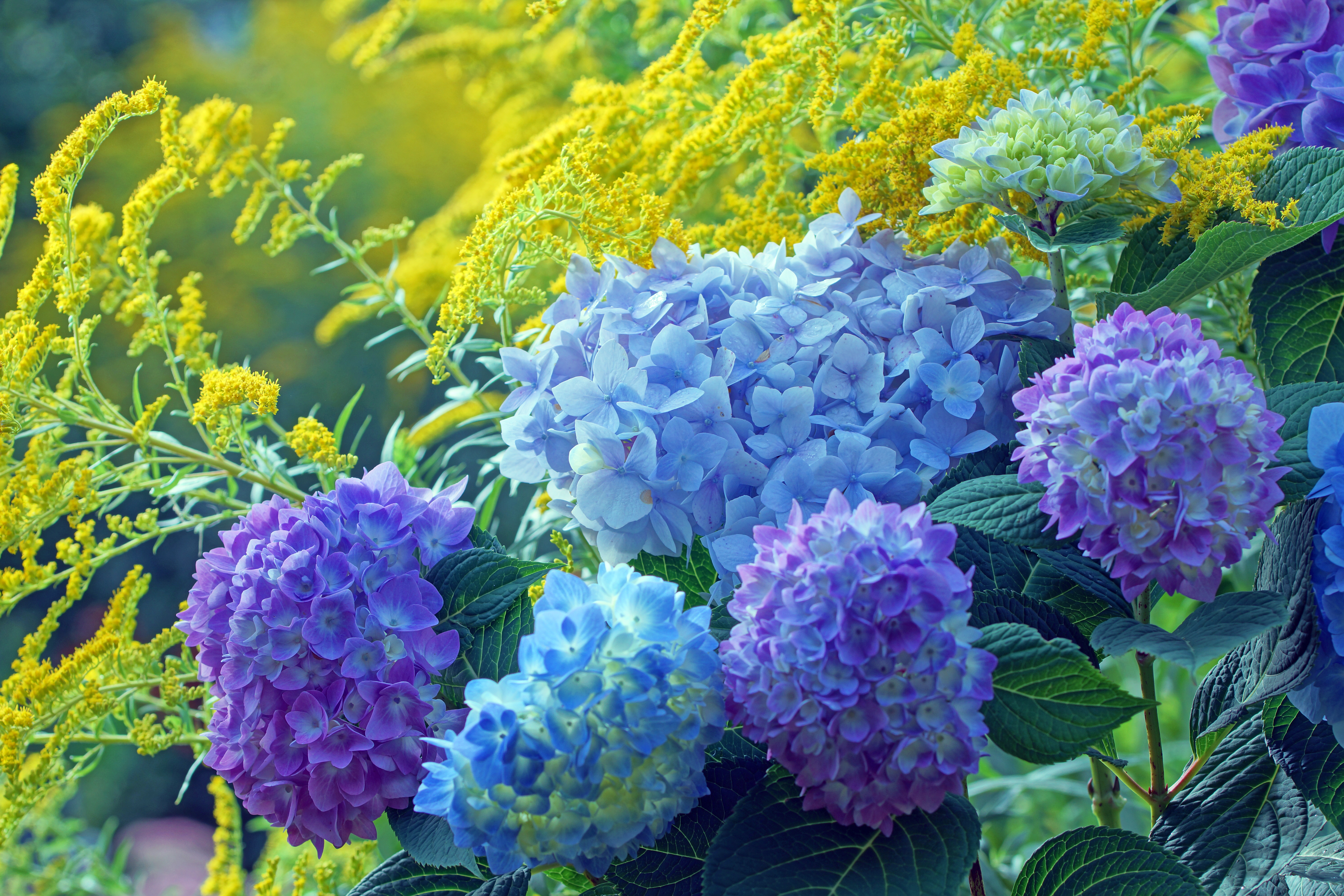 How to Cut Back Limelight Hydrangeas | Home Guides | SF Gate