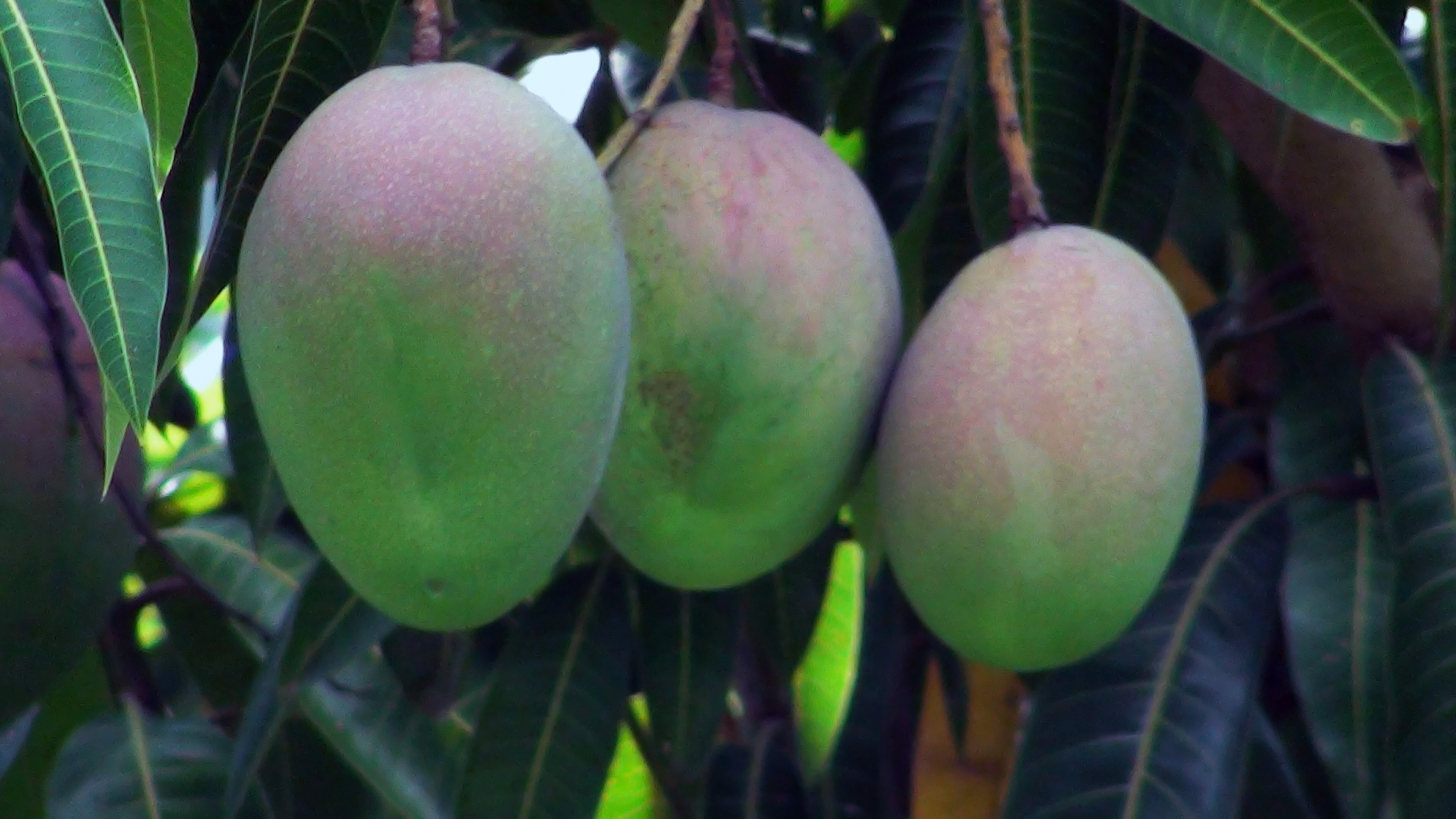 What Soil Is Best for a Mango Tree? | Home Guides | SF Gate
