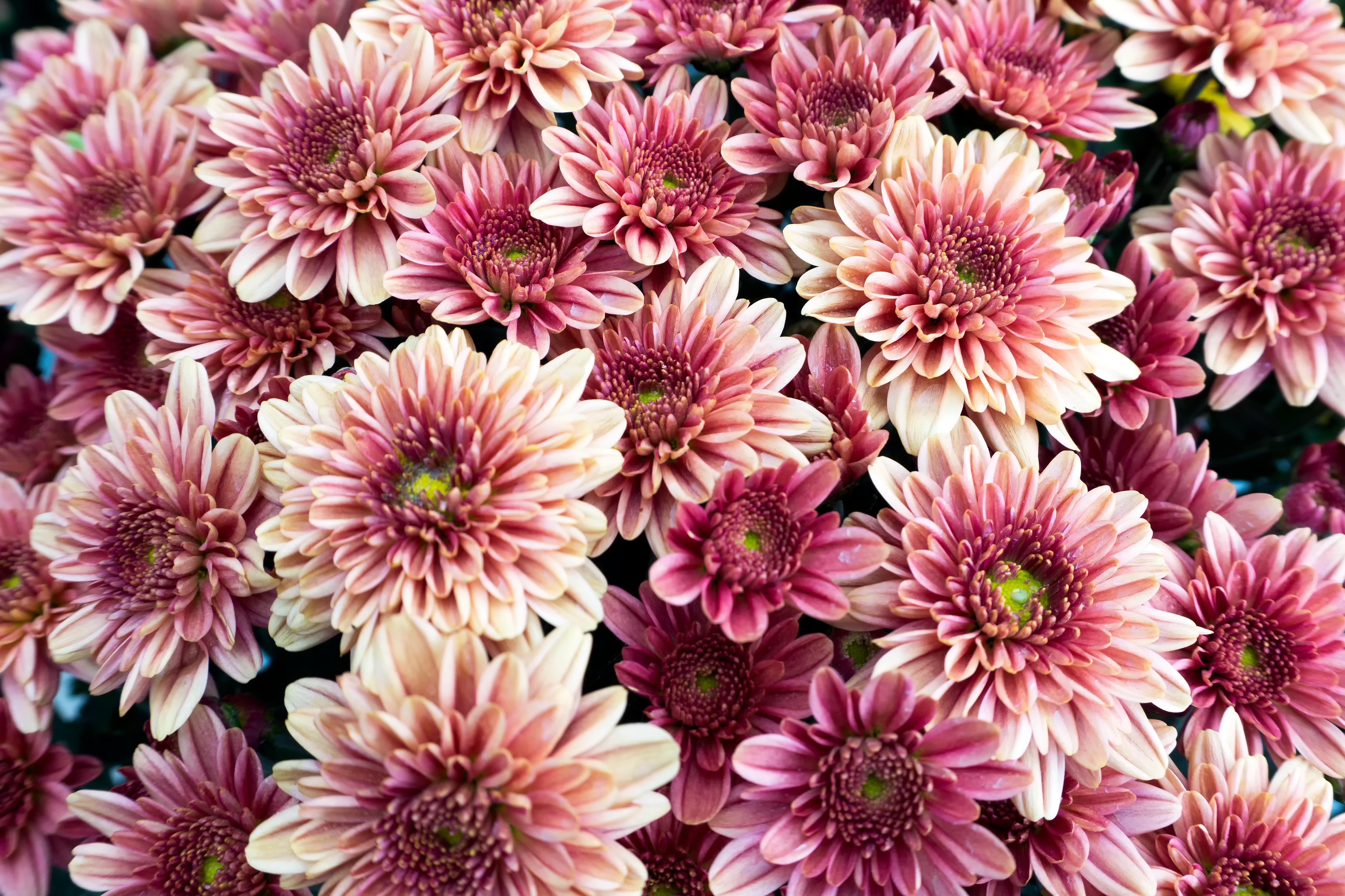 Florists Chrysanthemum Indoor