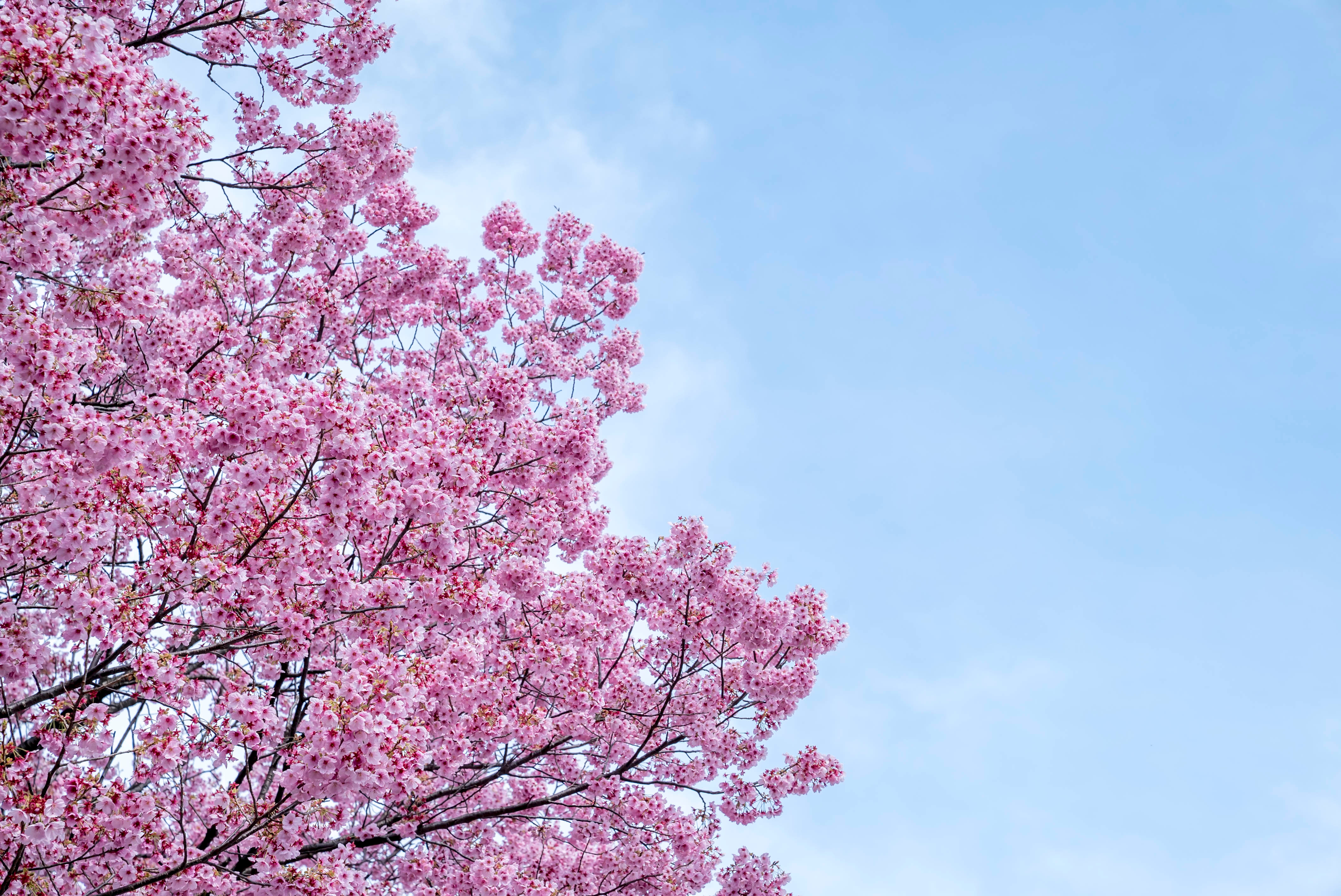How To Root From A Cutting Of A Blossoming Cherry Tree Home Guides