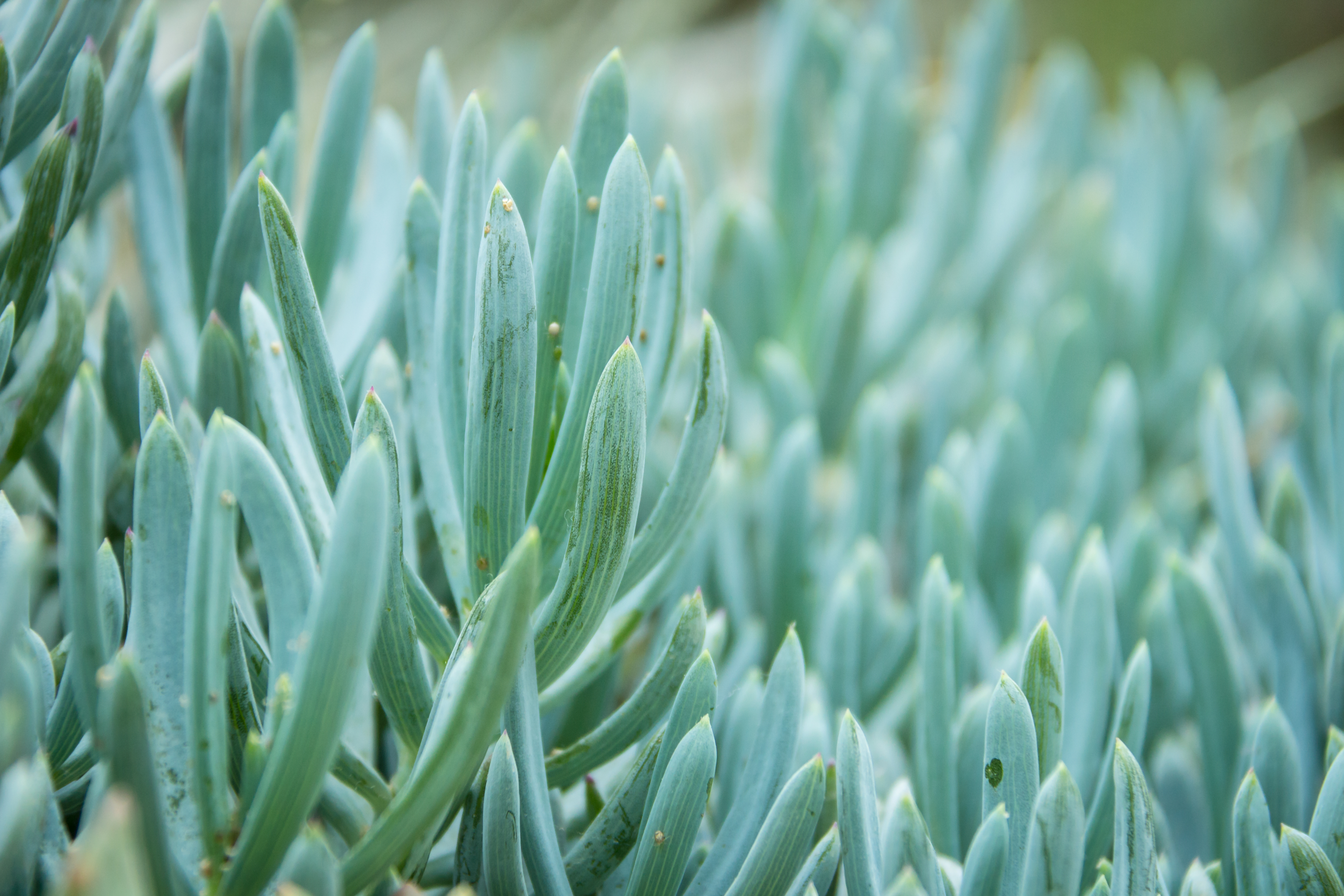 How To Care For A Blue Chalk Stick Succulent Home Guides Sf Gate