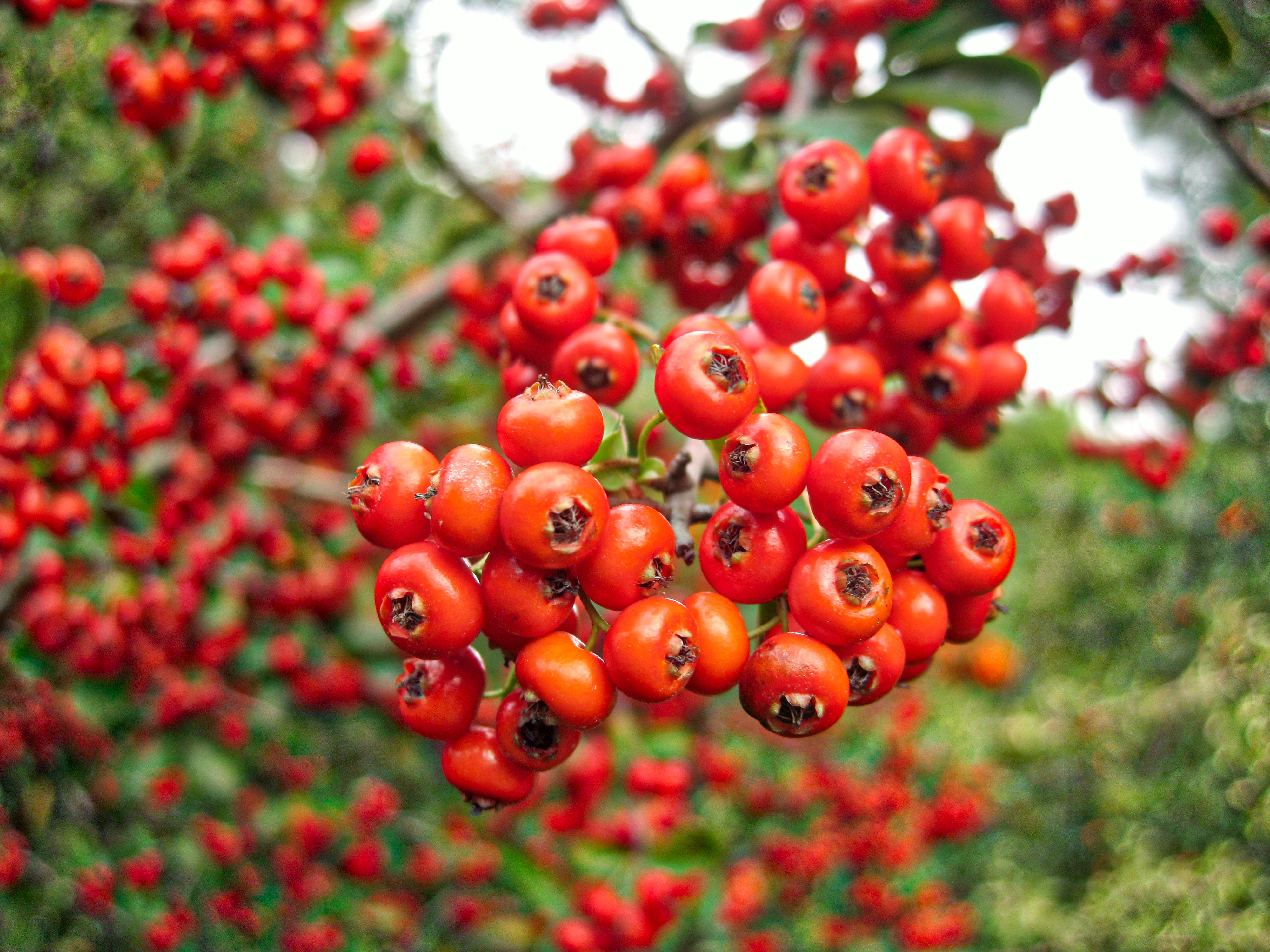How to Identify a Tree with Red Berries | Hunker