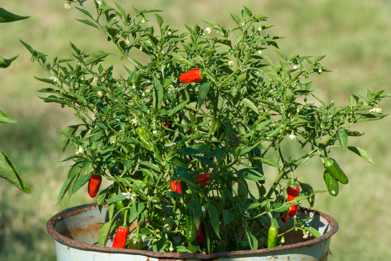 How to Trim a Chili Pepper Bush | Home Guides | SF Gate