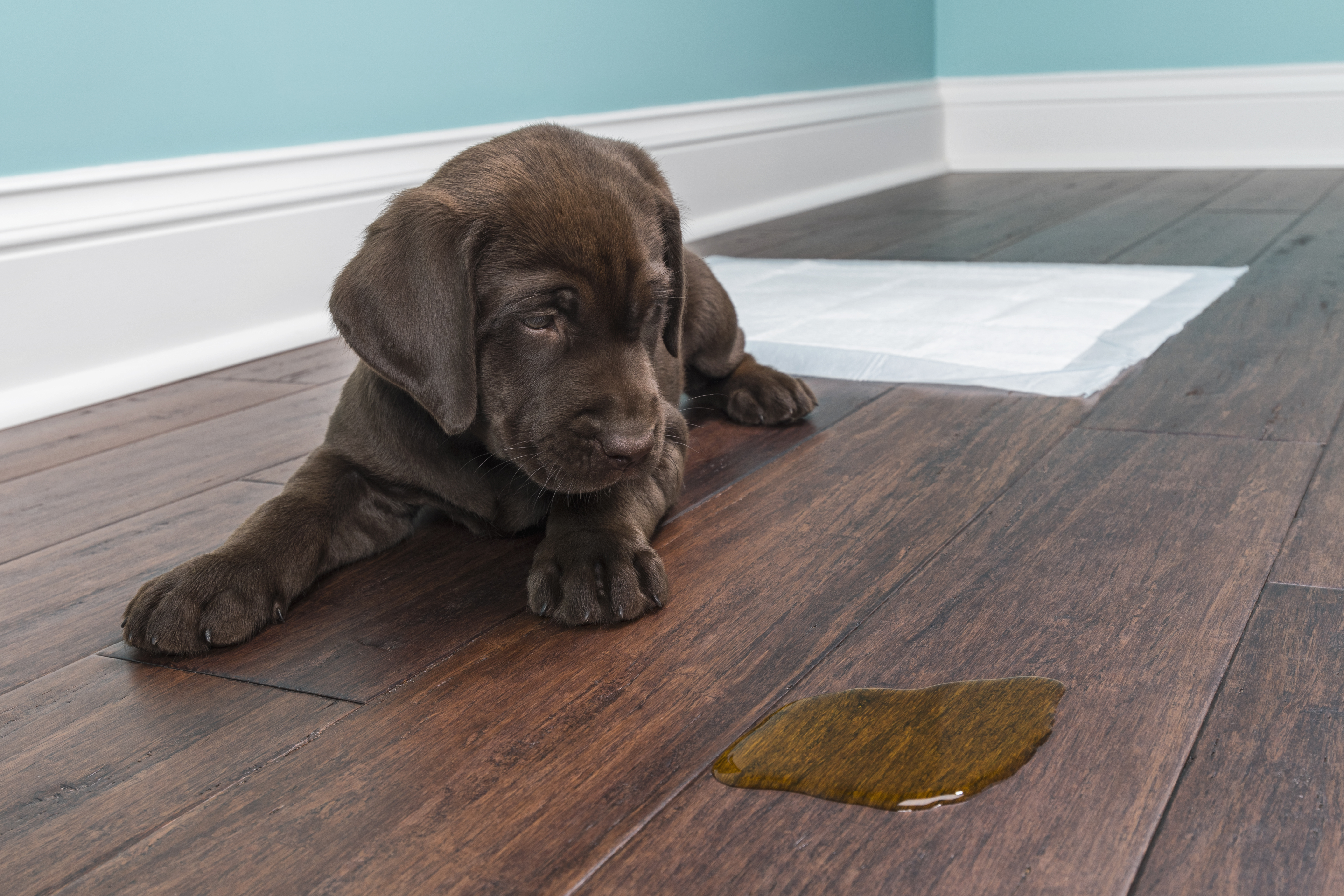How To Remove Dog Pee Stains & Urine Odor From Everything | Cuteness