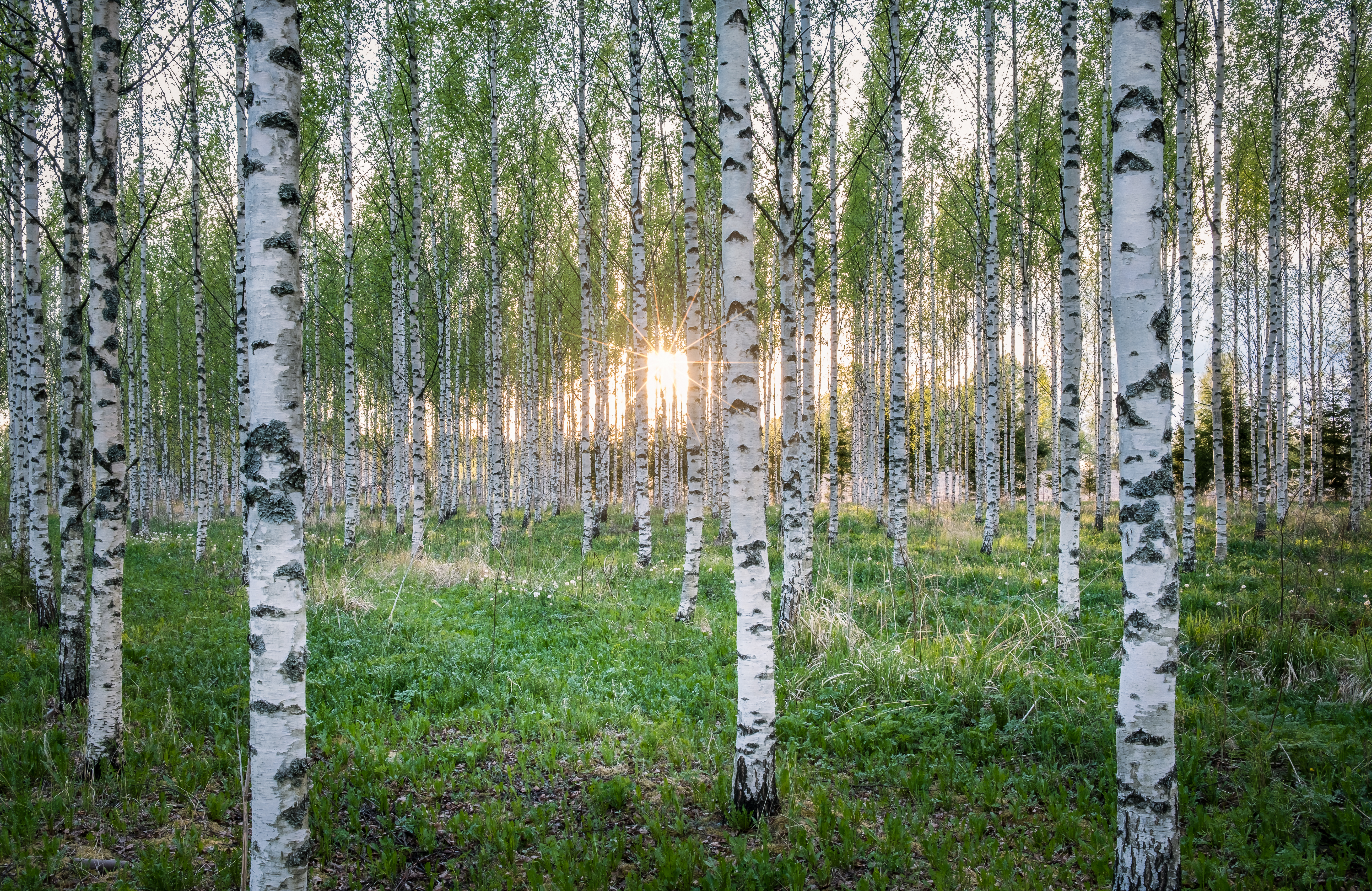 A Guide To Birch Tree Pests Diseases Home Guides Sf Gate