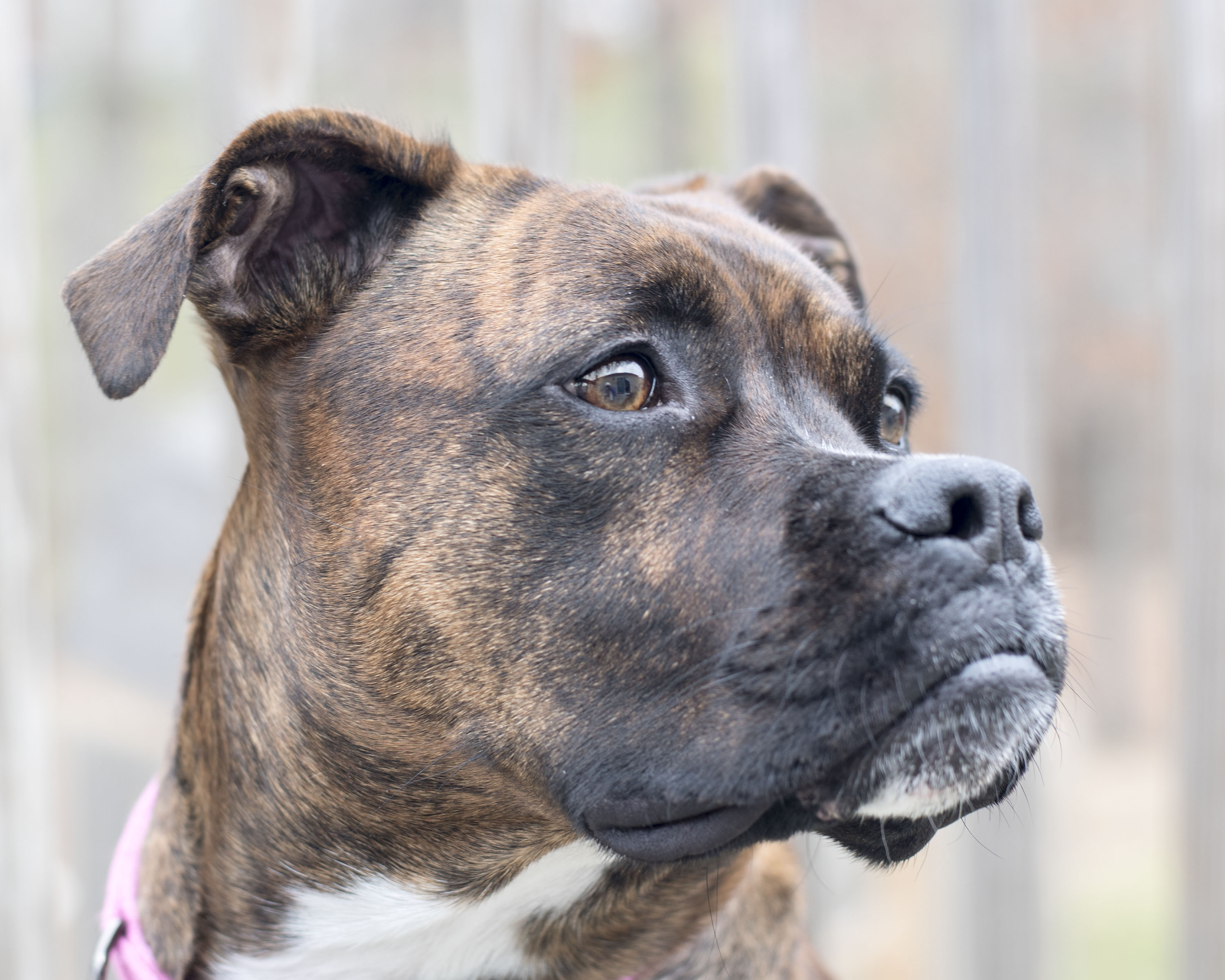 How To Determine Dog Breed By Brindle Coloring Cuteness