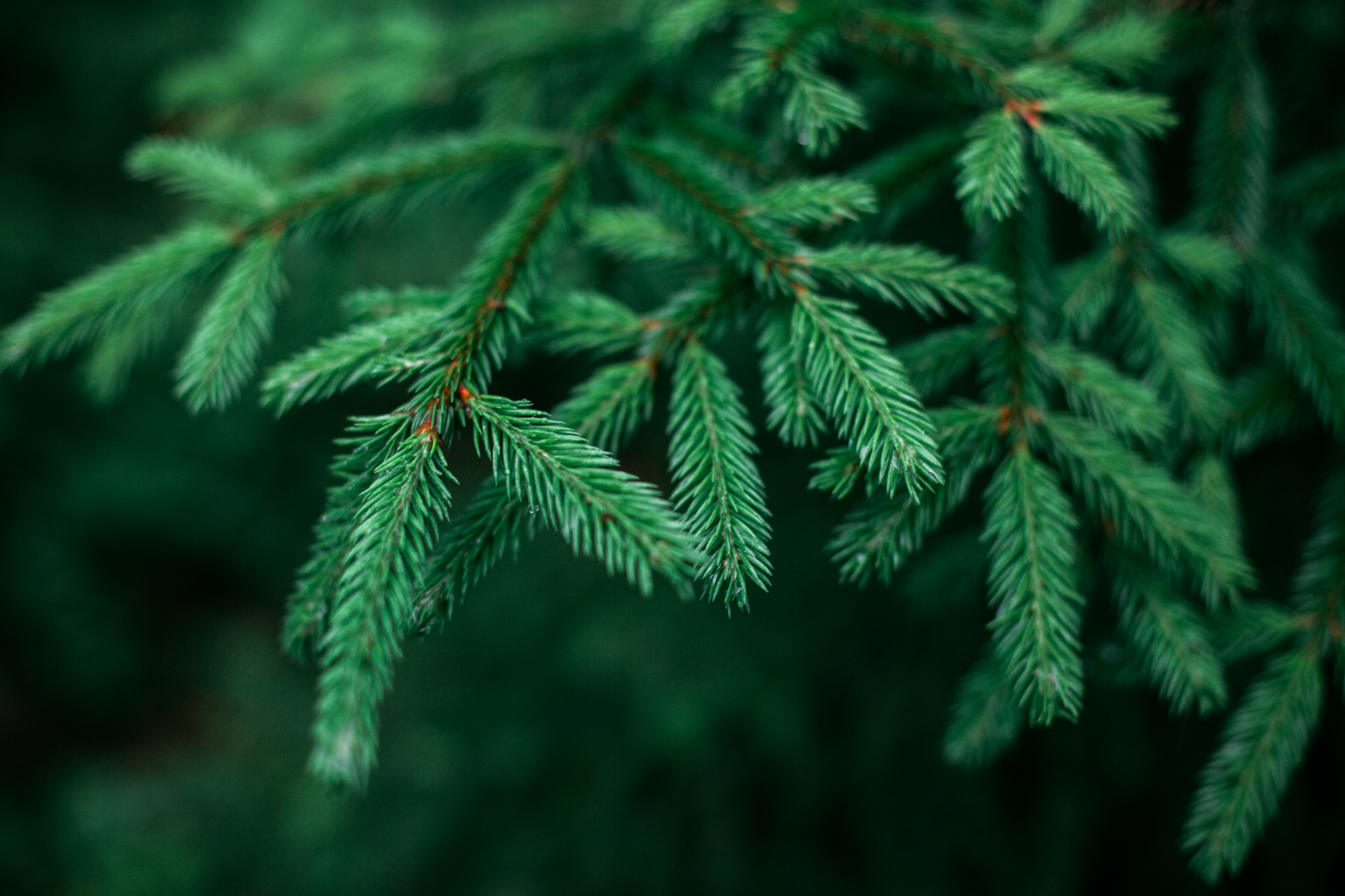 Facts About Pine Trees Home Guides Sf Gate