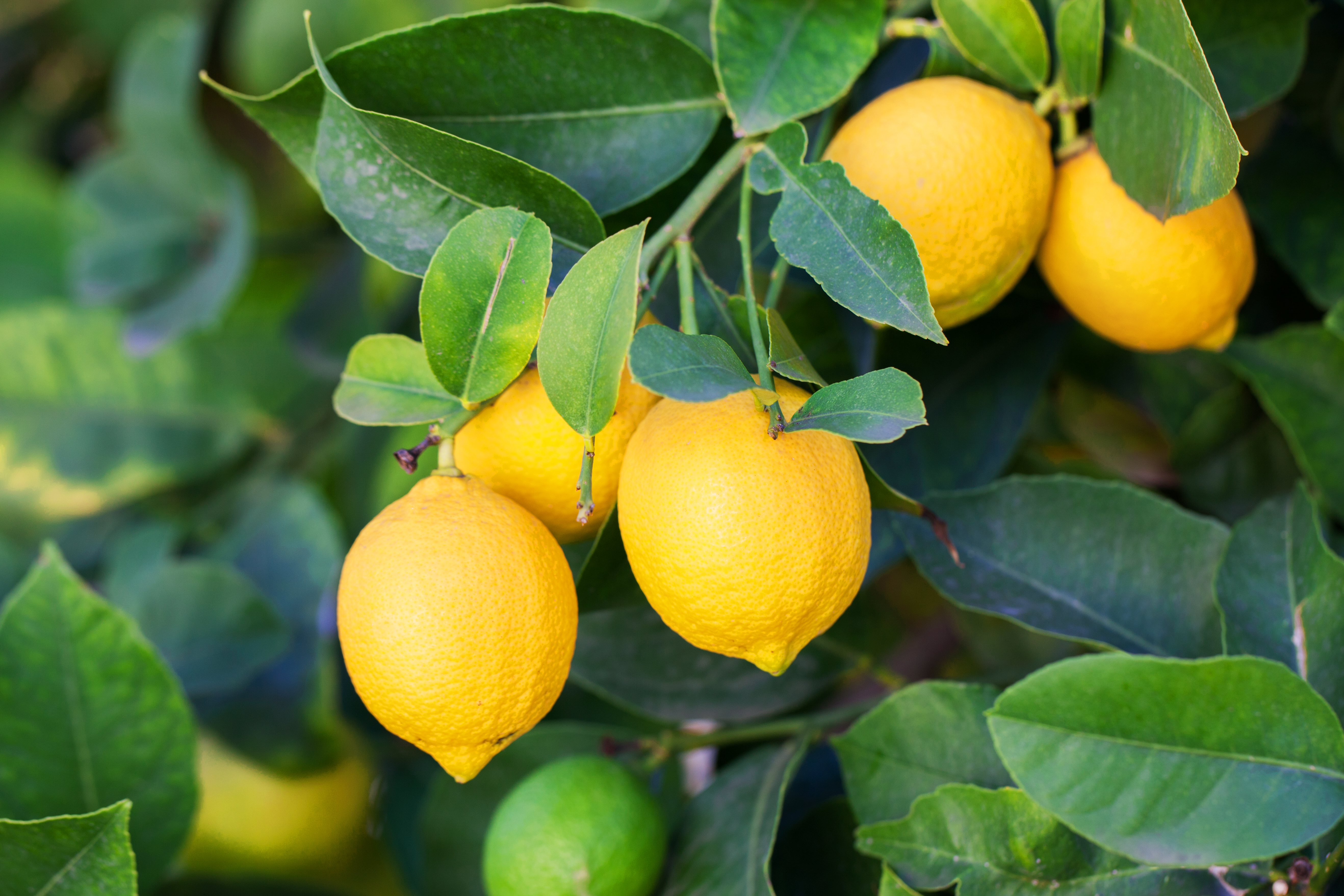 What Is the Best Soil for a Lemon Tree Plant? | Home Guides
