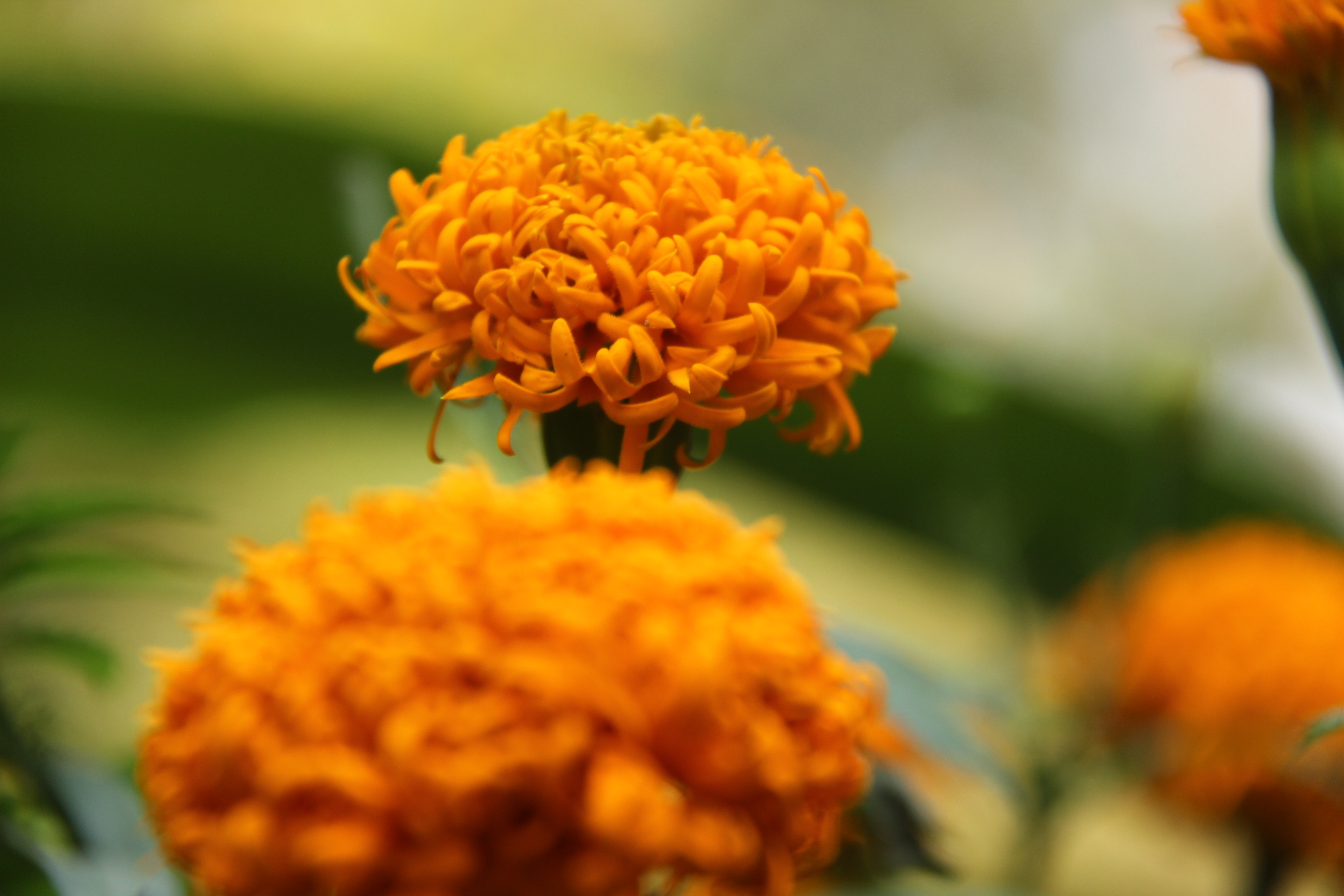 Pest Control for Marigolds in a Garden | Home Guides | SF Gate