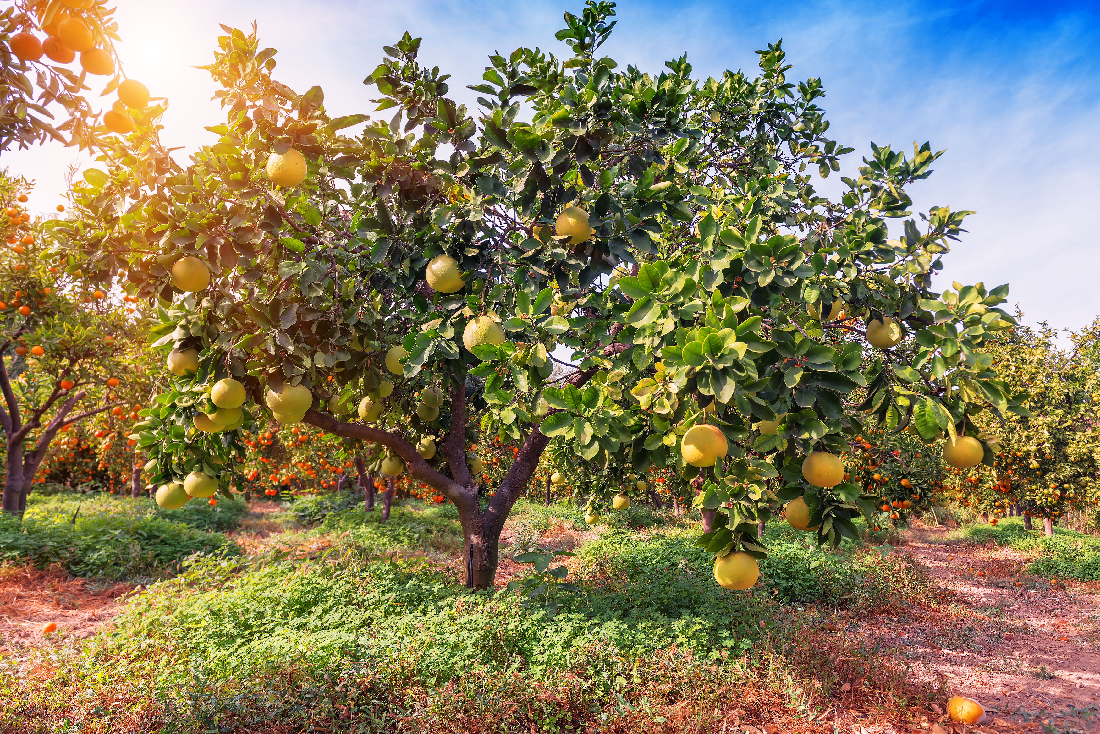 How to Take Care of a Lemon Tree in the Winter | Home Guides