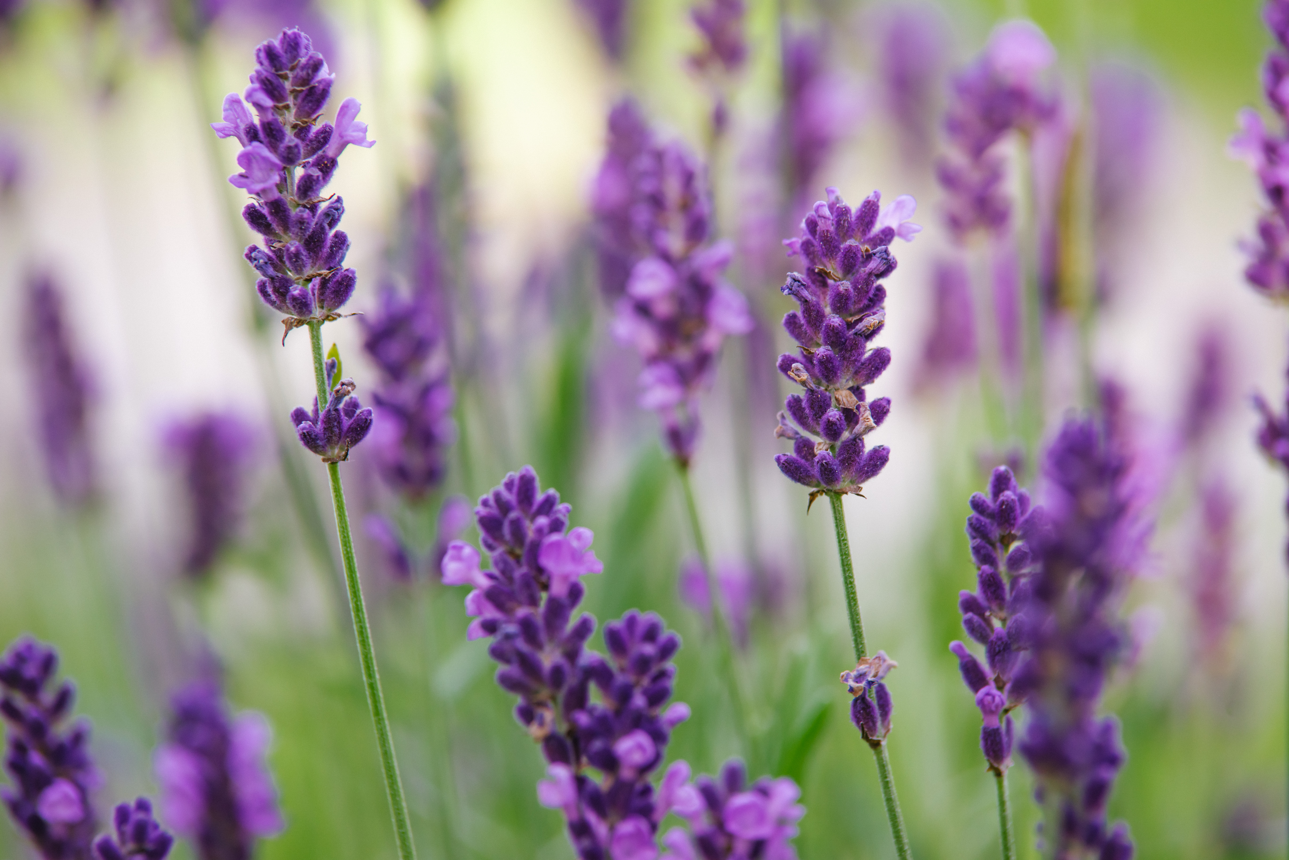 How To Care For Lavender Plants In The Winter