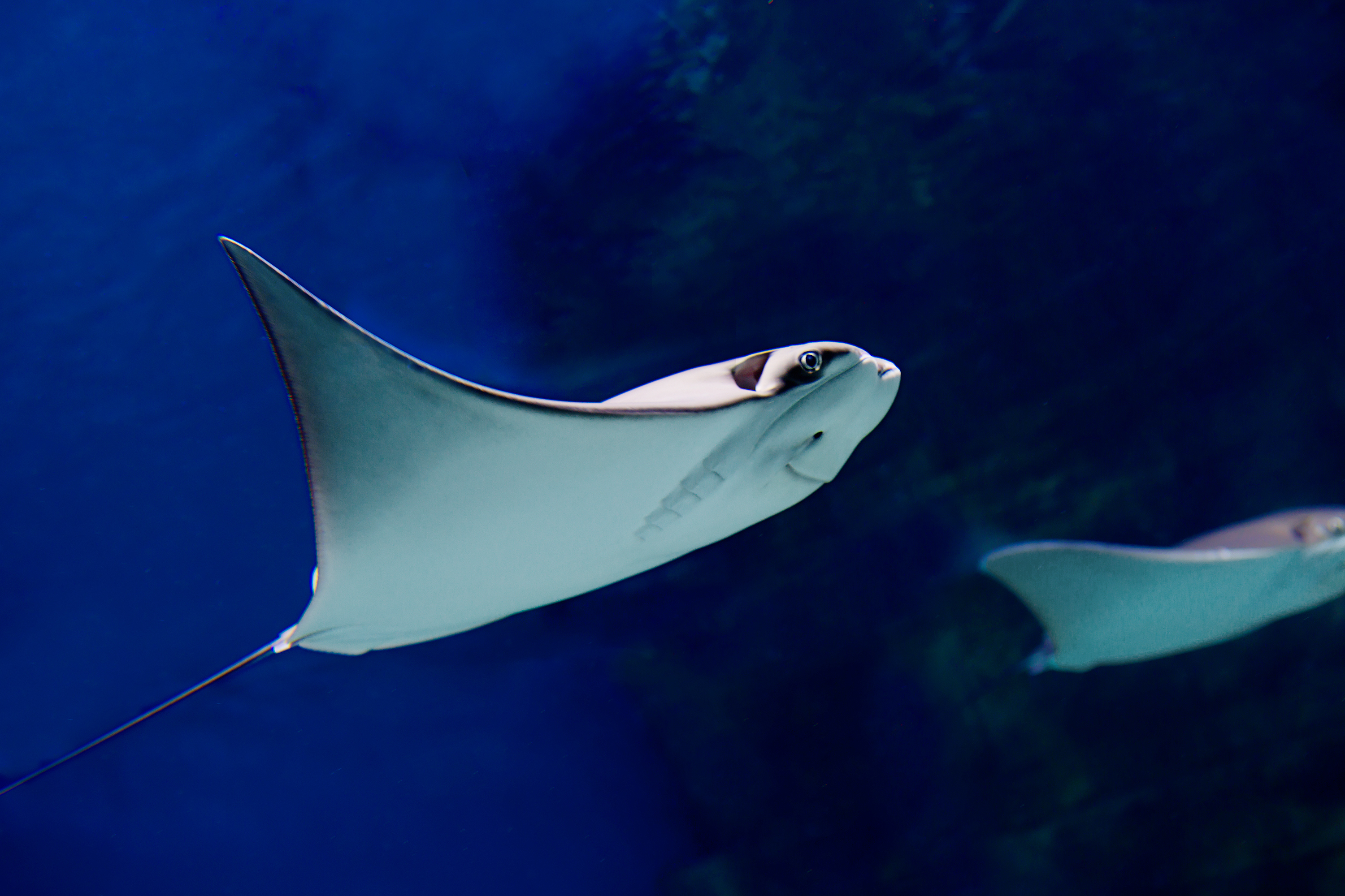 what are the adaptations of a stingray sciencing