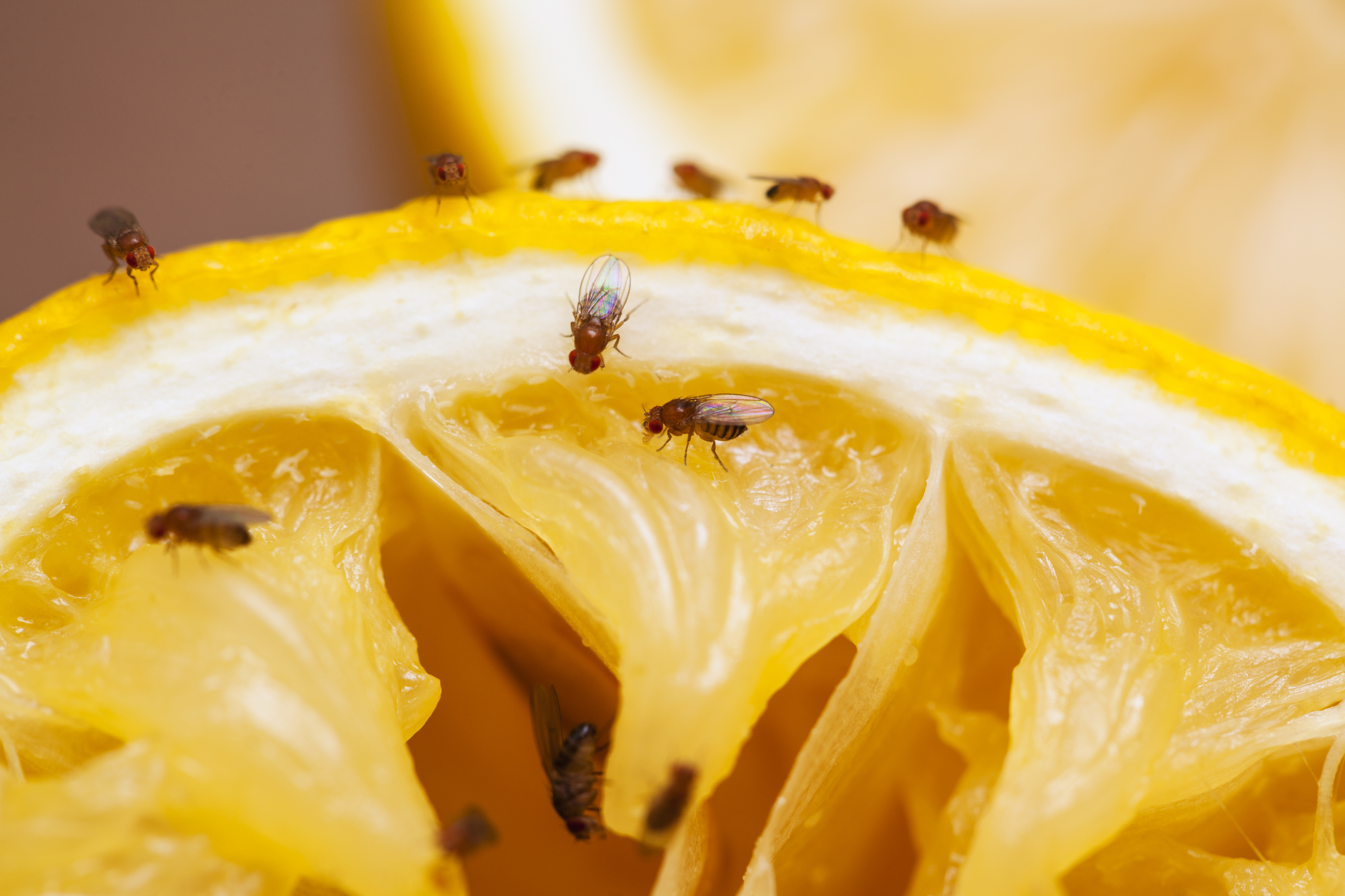 Difference Between Gnats & Fruit Flies | Home Guides | SF Gate