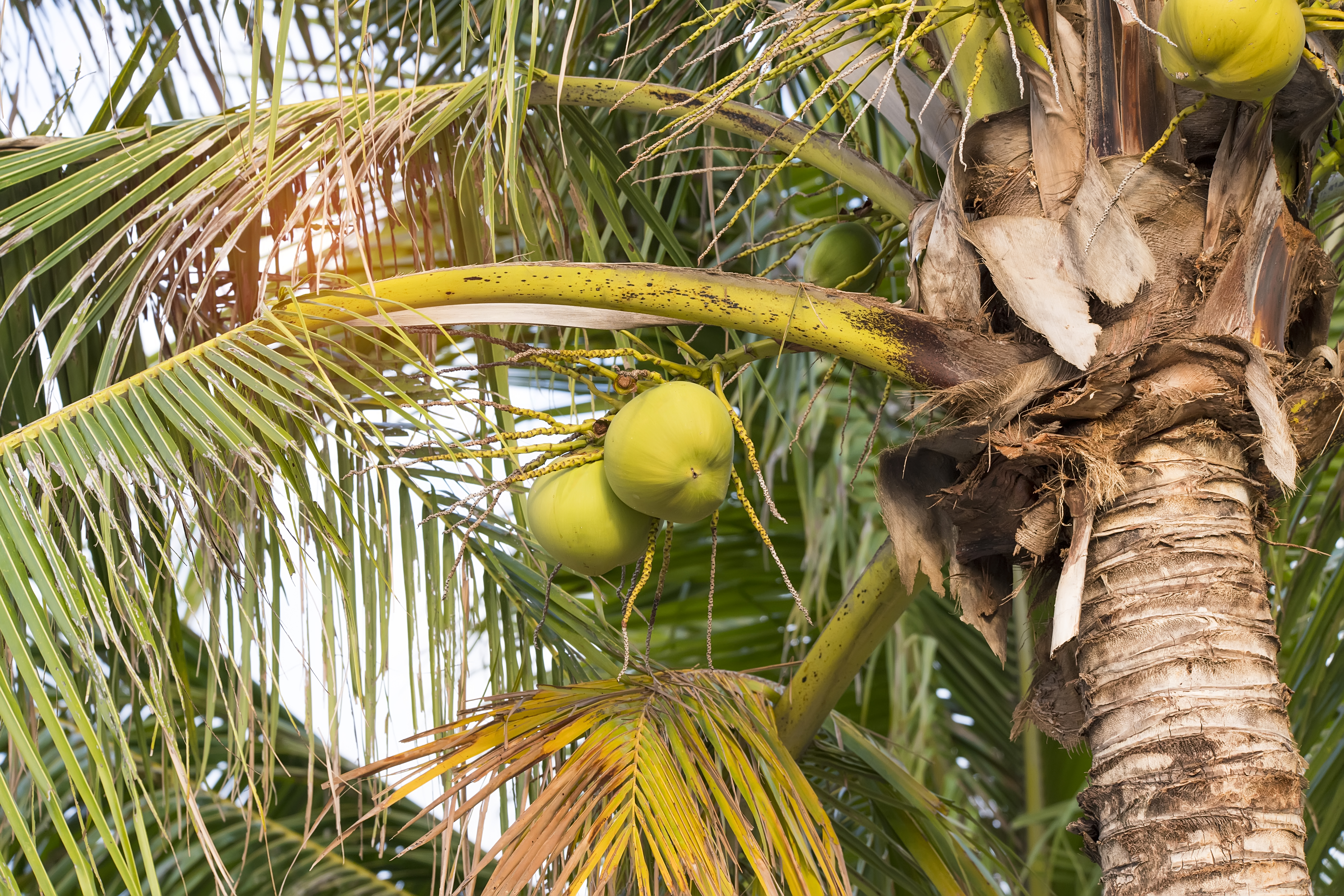 What Season Does the Coconut Tree Give Fruit? | Home Guides | SF Gate