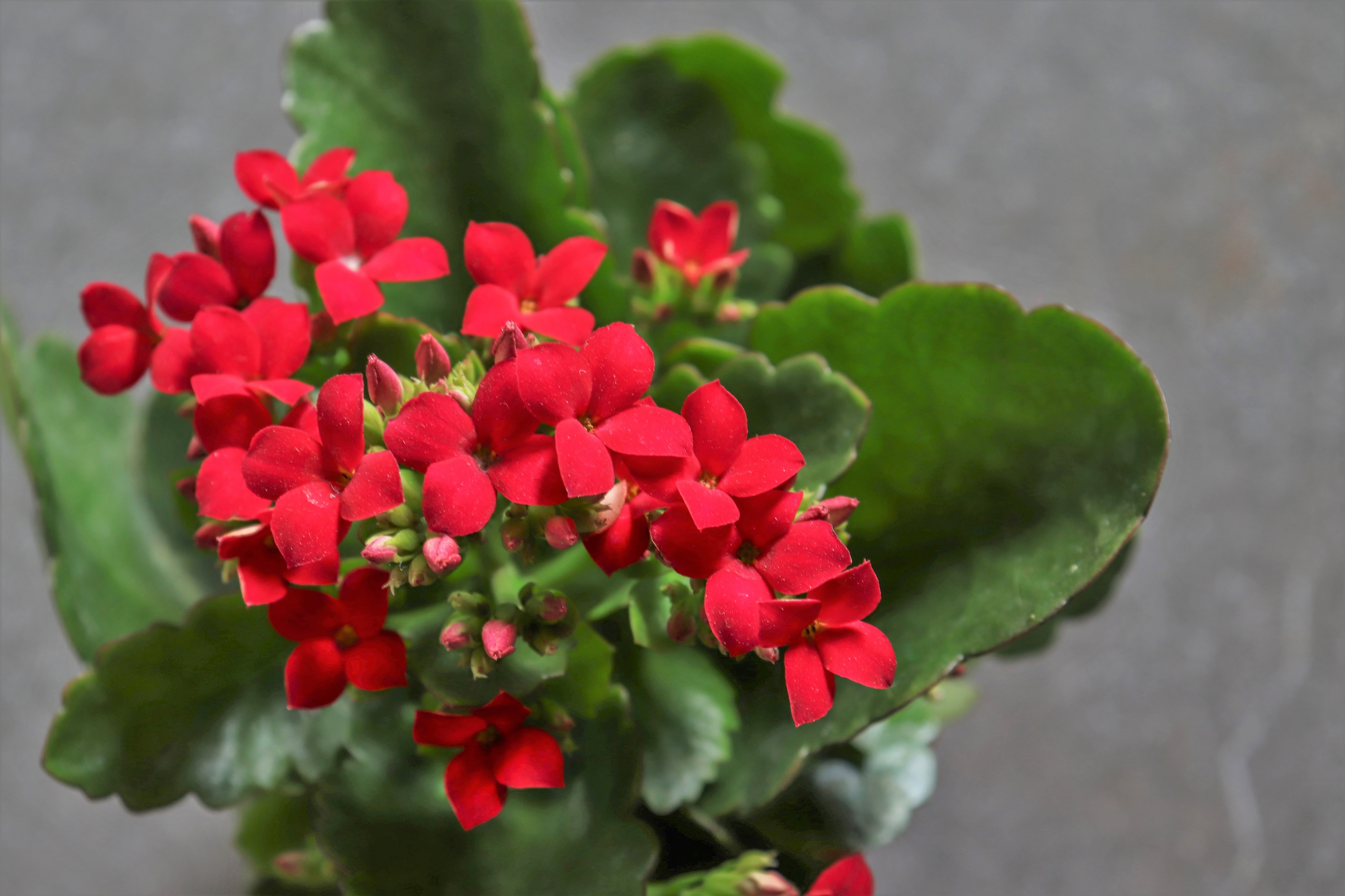 How to Prune Kalanchoes   Home Guides   SF Gate Home Depot Foliage Plants Html on home depot topiary plants, home depot outdoor plants, home depot nursery plants, home depot low light plants, home depot potted plants, home depot garden plants, home depot tropical plants, home depot trees plants, home depot shade plants, home depot bonsai plants, home depot ground cover plants, home depot flowers plants, home depot flowering plants, home depot water plants, home depot pots for plants, home depot indoor plants, home depot bamboo plants, home depot perennial plants, home depot bedding plants, home depot landscape plants,