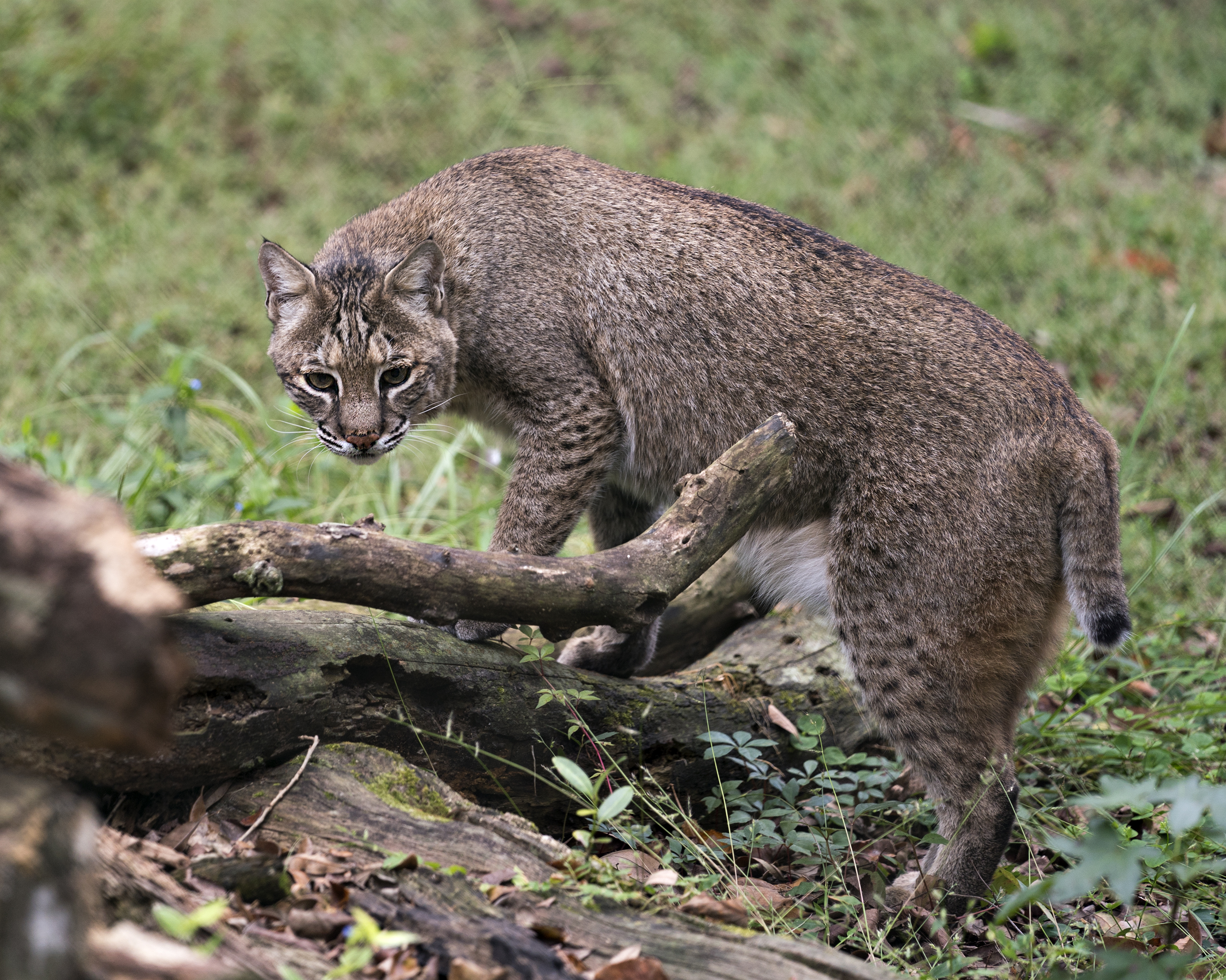 Facts On Wild Bobcats In Florida