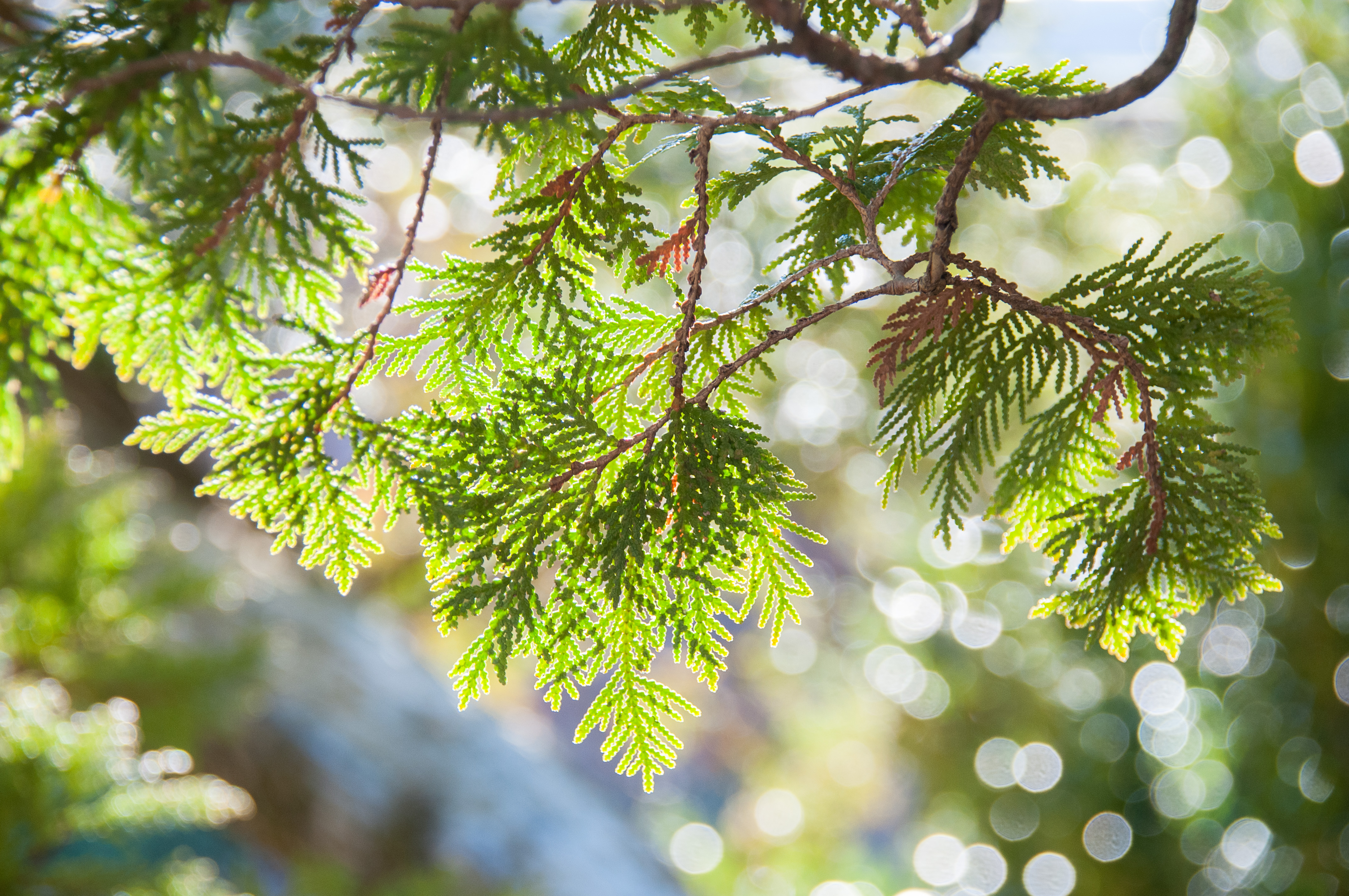 Why Cedar Tree Branches Are Turning Brown | Home Guides | SF