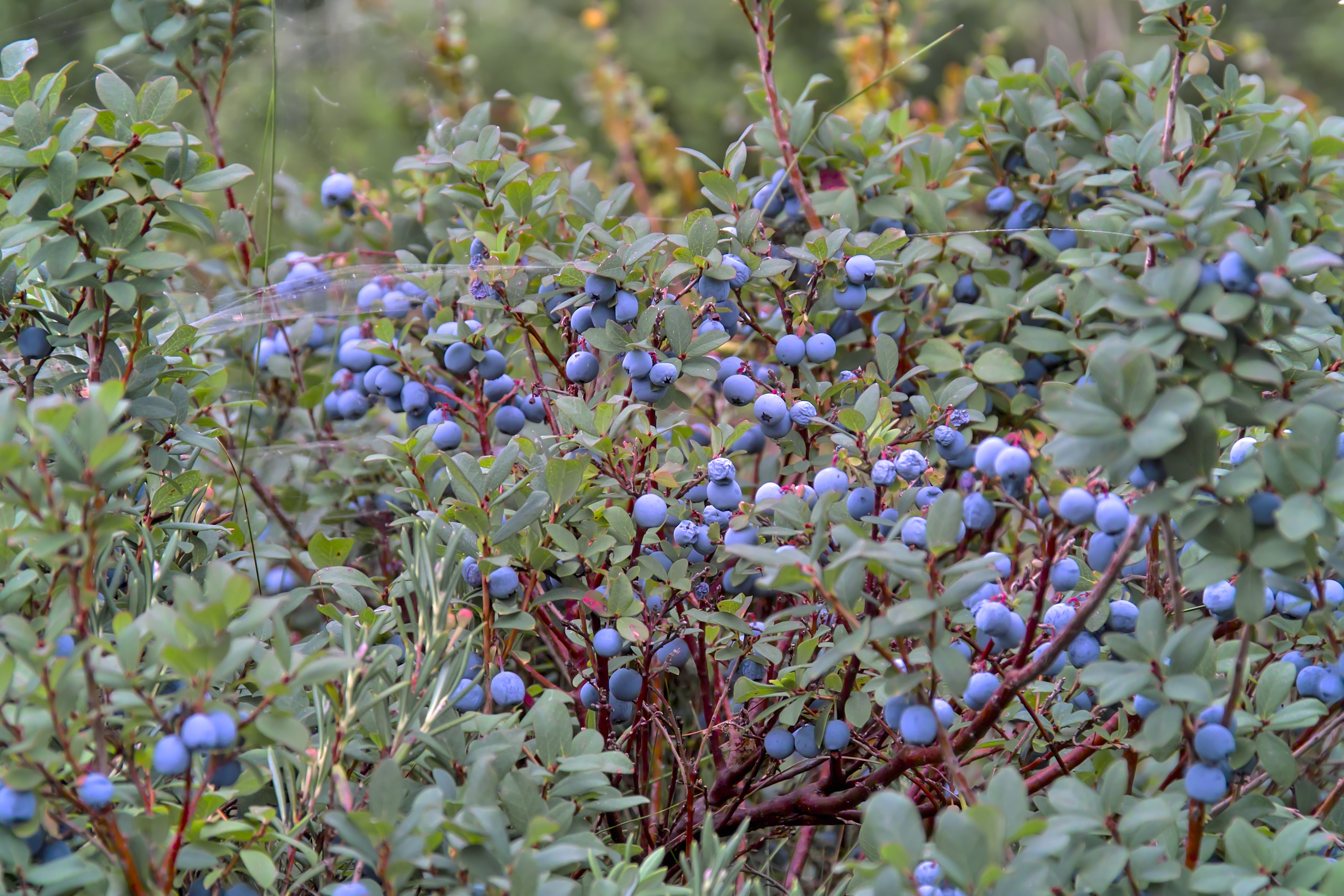 How to Identify Blueberry Bushes | Home Guides | SF Gate