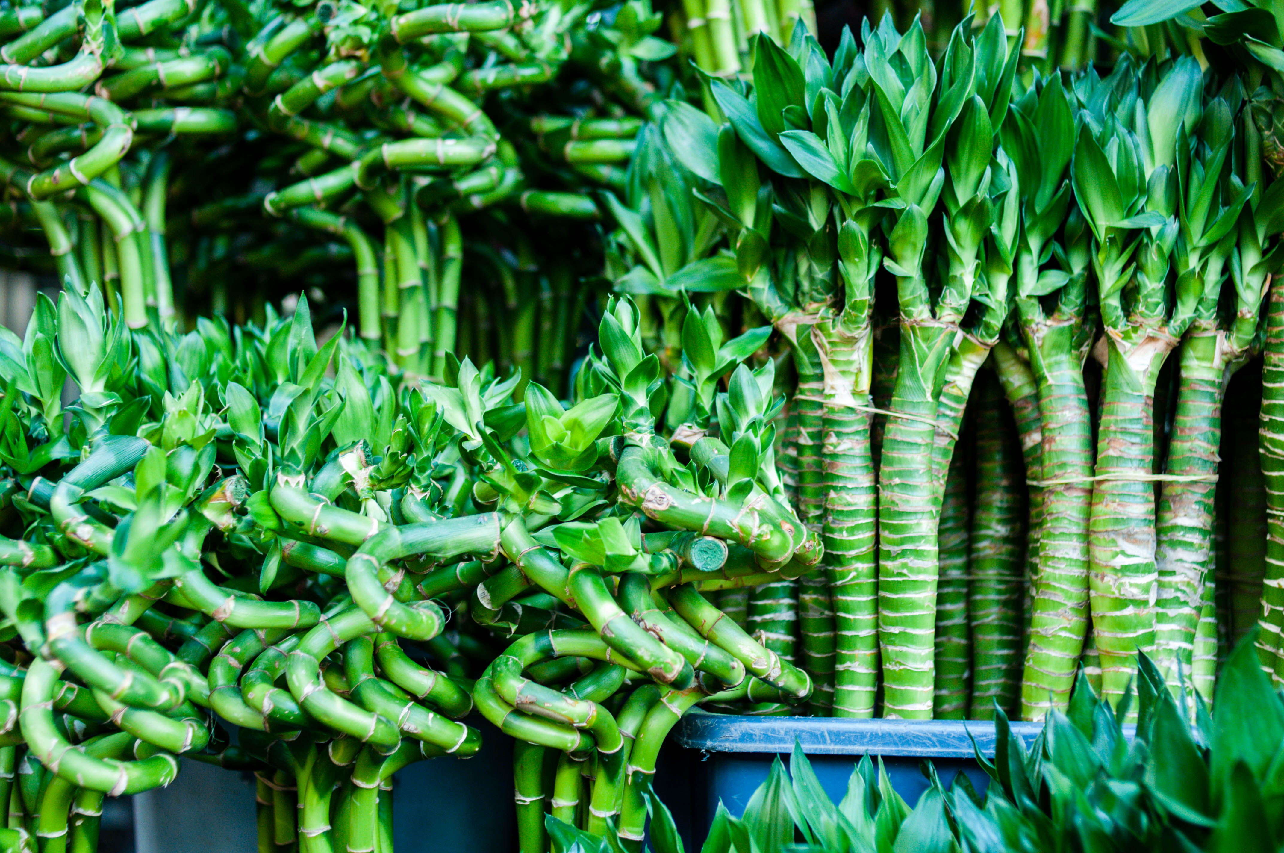 Can You Bring A Lucky Bamboo Plant Back To Life Home Guides Sf Gate