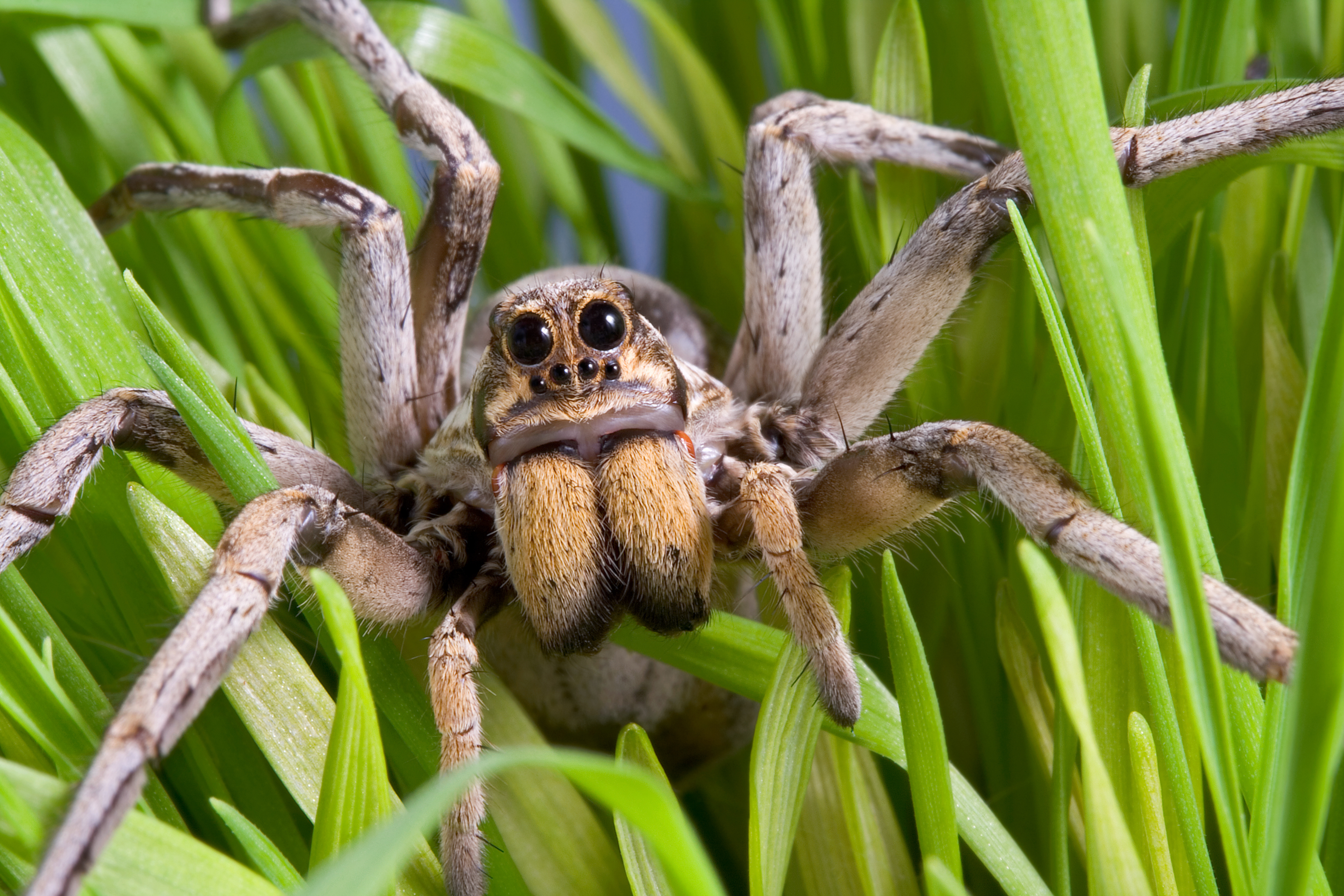 What Do Wolf Spiders Eat >> What Are The Predators Of The Wolf Spider