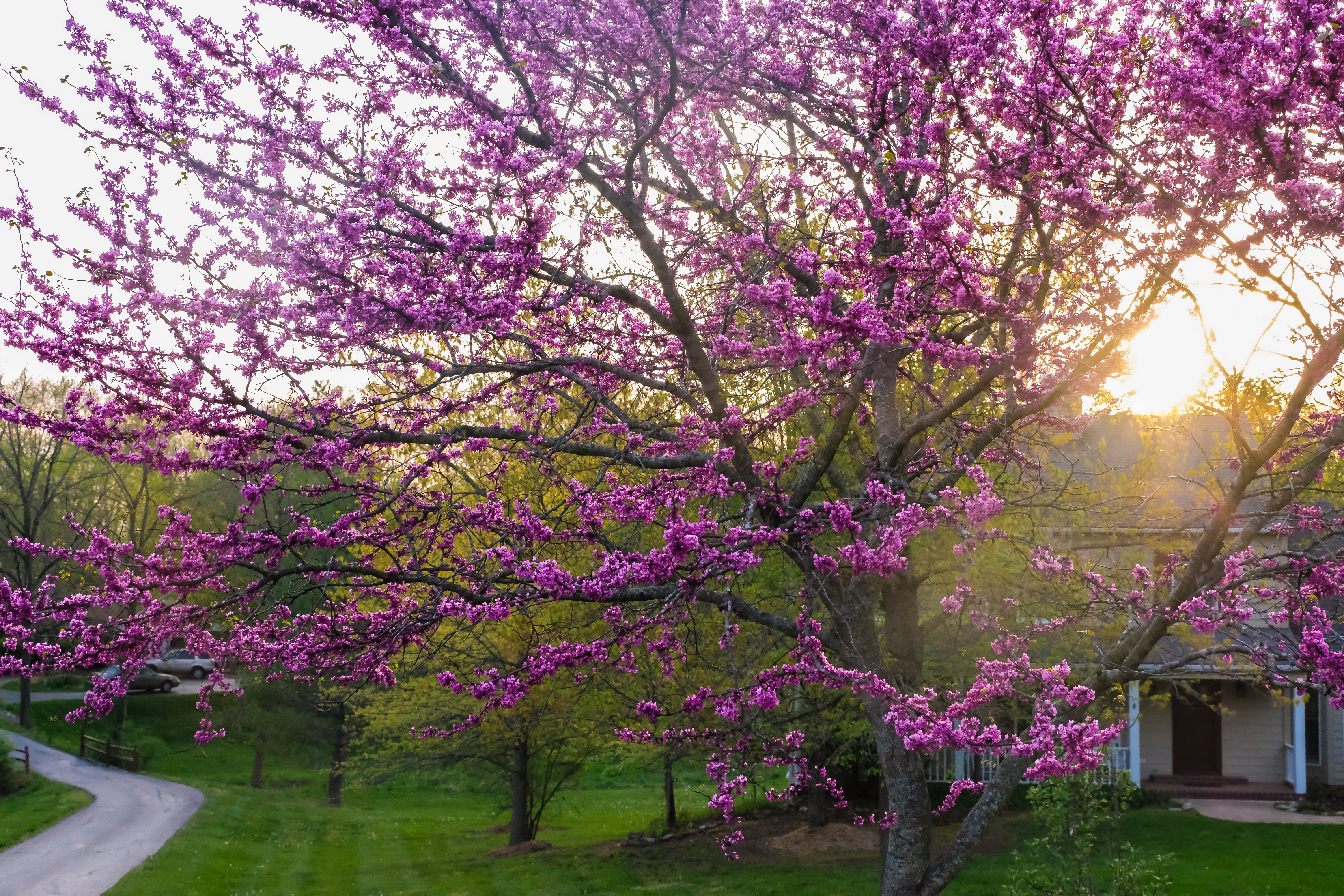 How To Plant Eastern Redbud Trees Home Guides Sf Gate