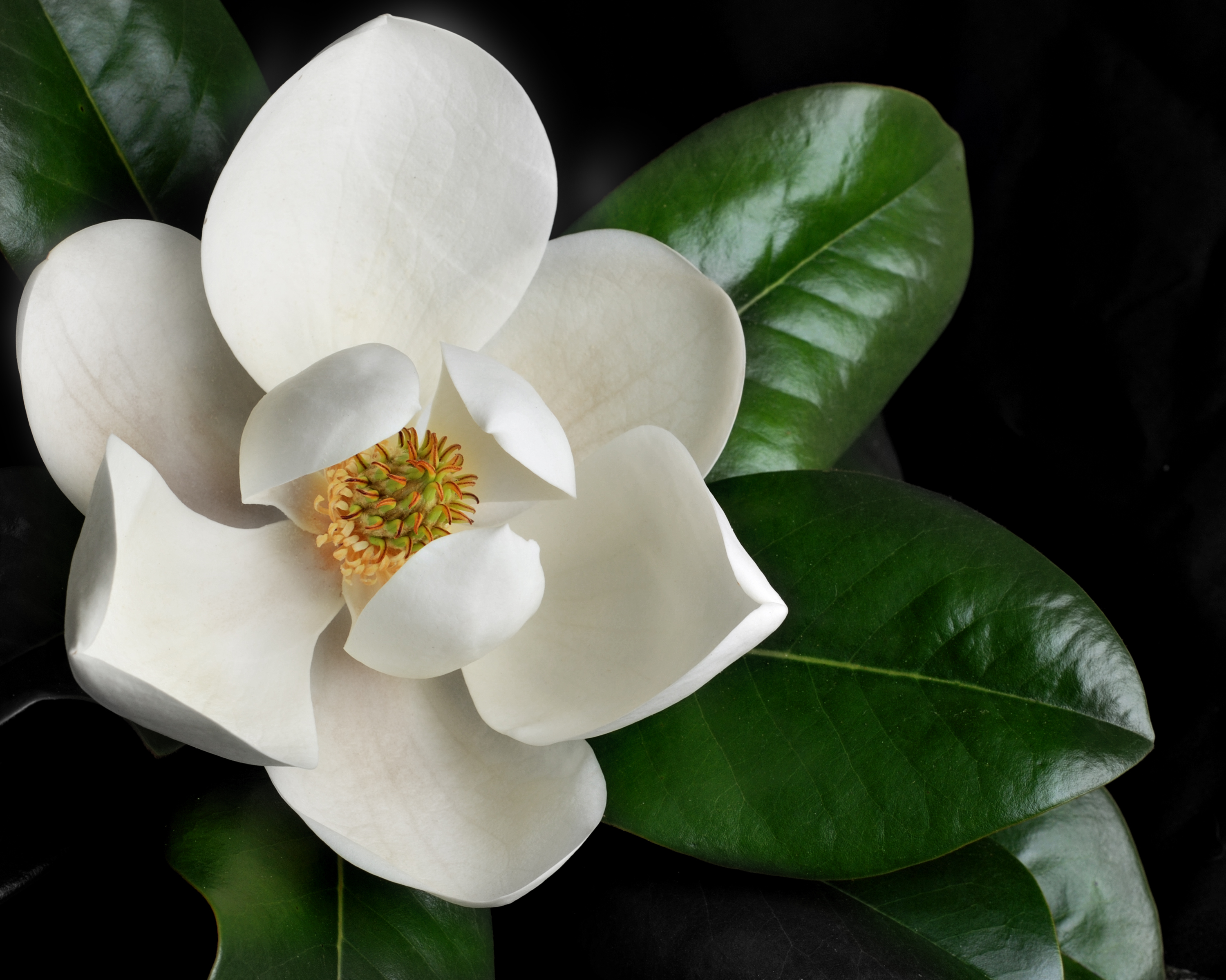 The Types Of Fertilizer To Deep Feed A Magnolia Tree Home Guides