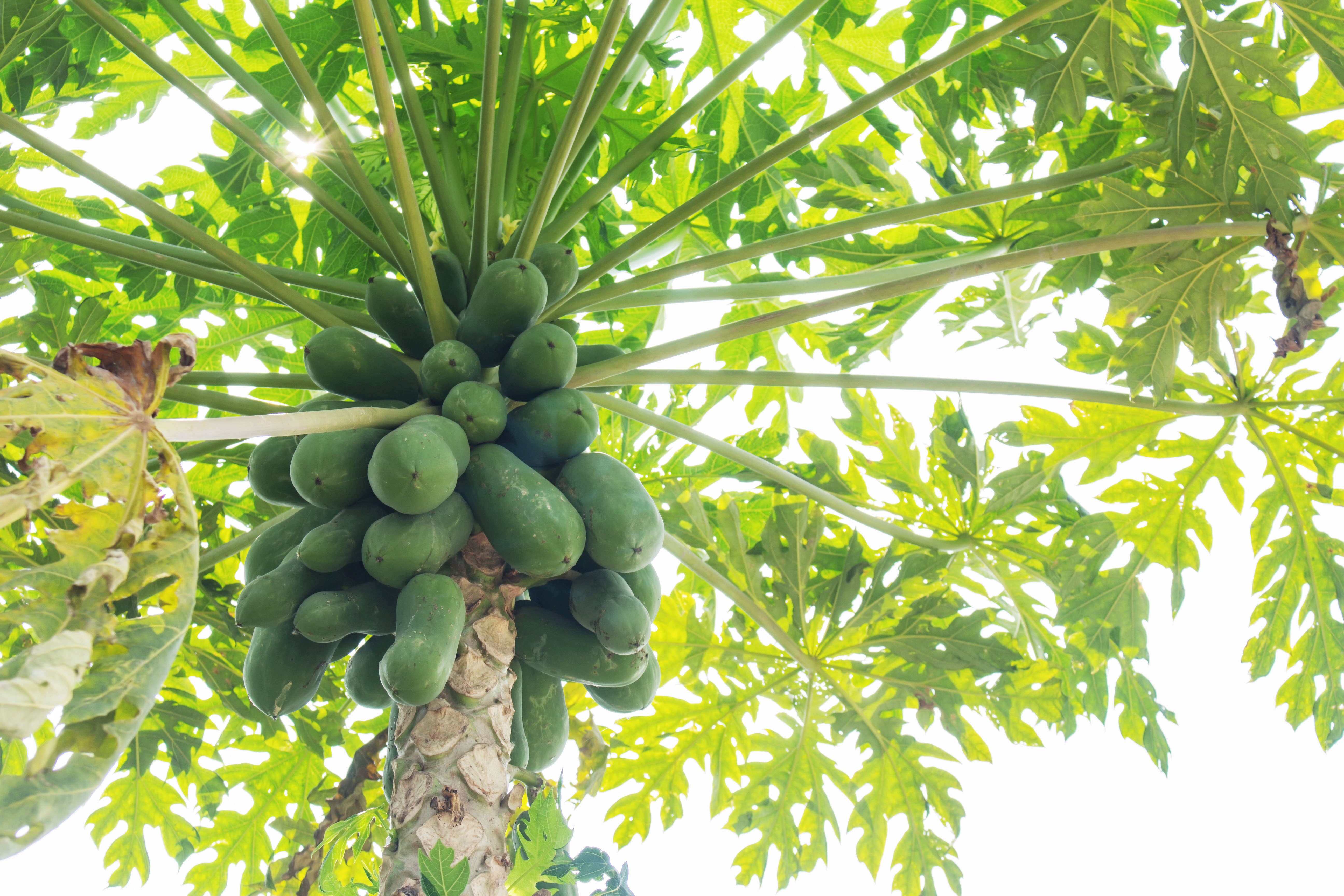 What Months Are Papaya Trees Ready for Picking? | Home