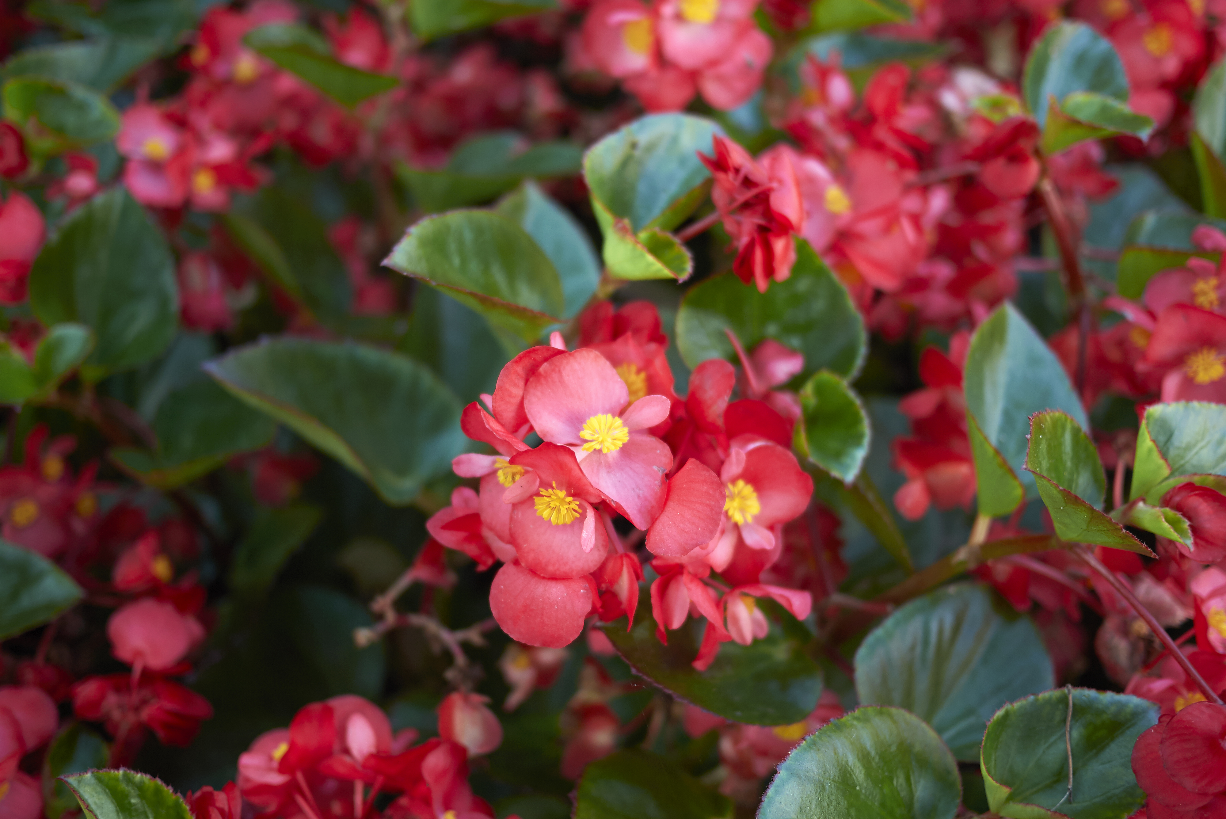 How Often Do Begonias Need To Be Watered Home Guides Sf Gate