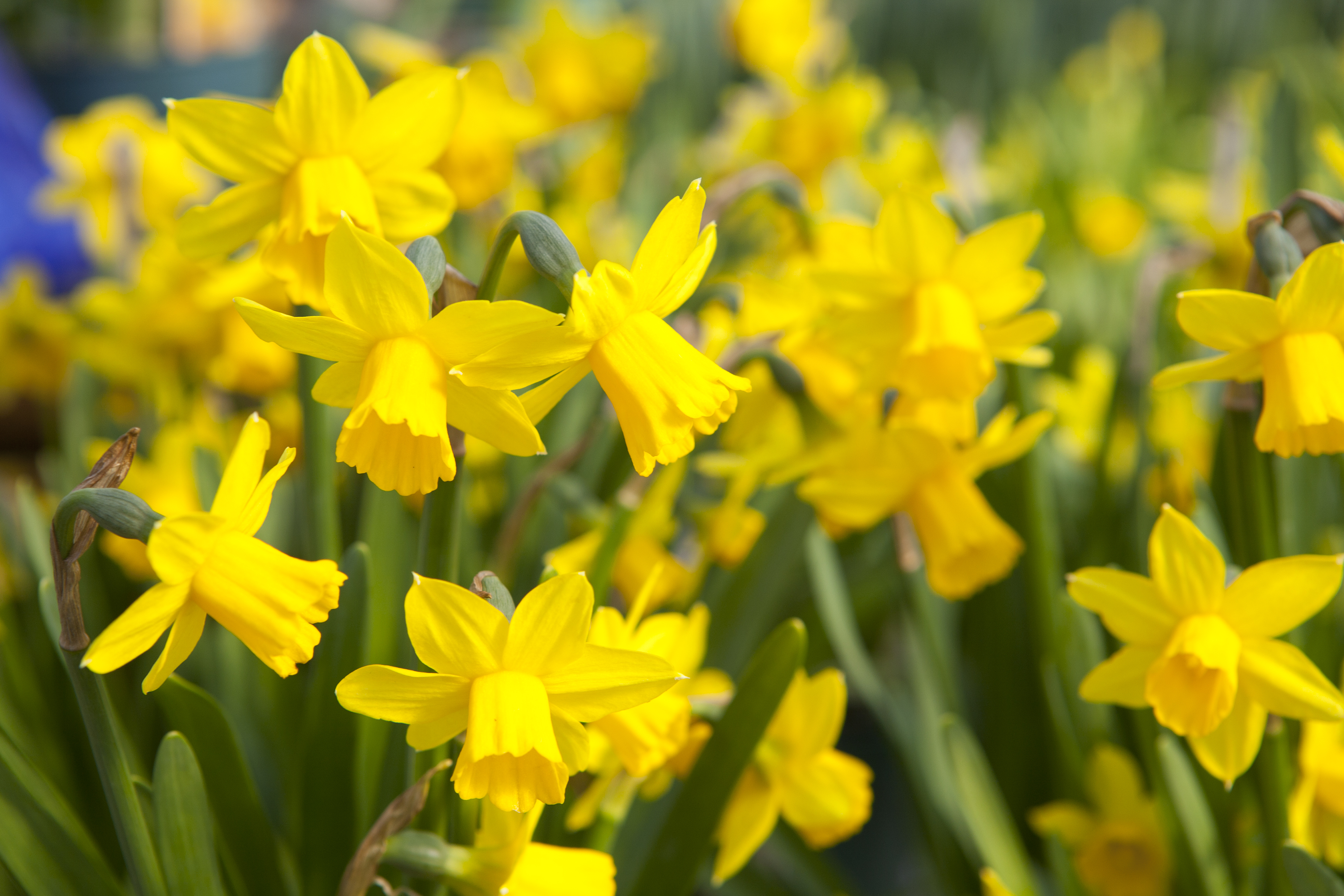 More Interesting Than Food Narcissus >> What To Do With Daffodils When The Flowers Have Died Home Guides