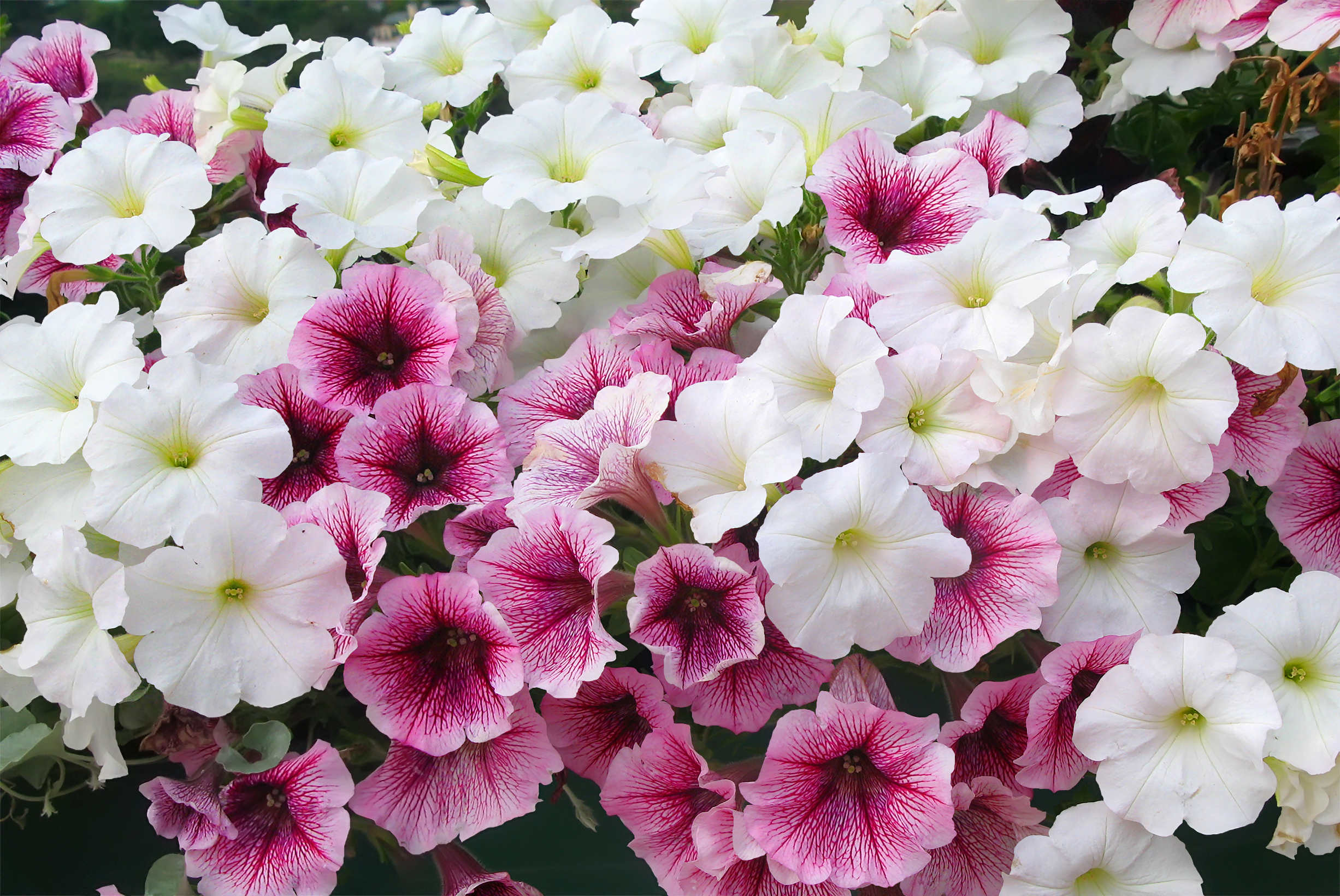 The Differences Between Wave Cascading Petunias Home Guides