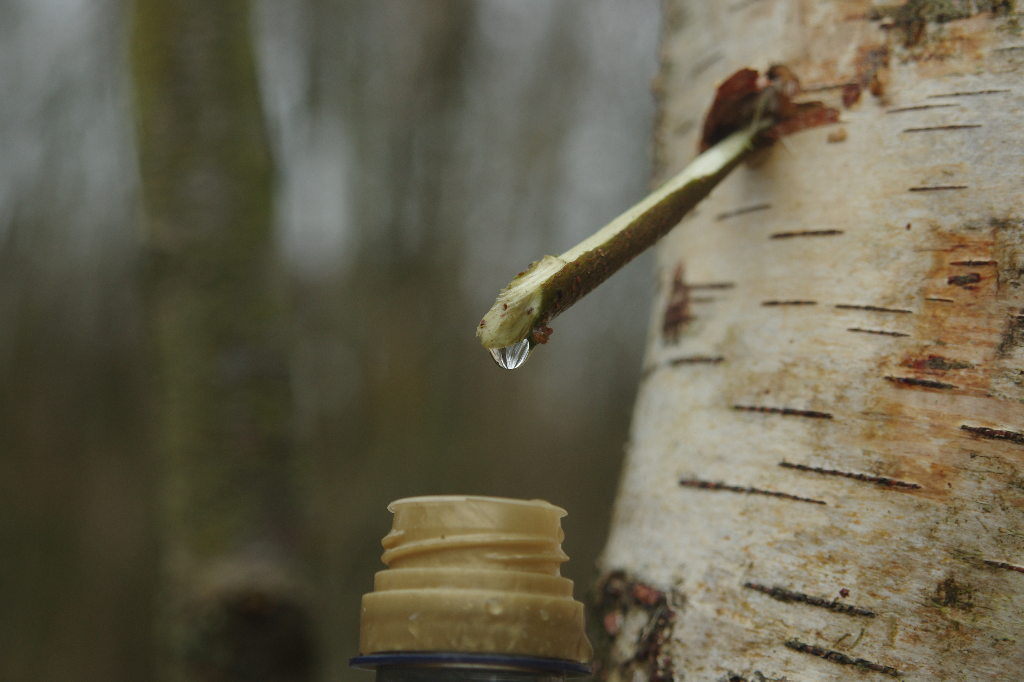 What Is Tree Sap Used For