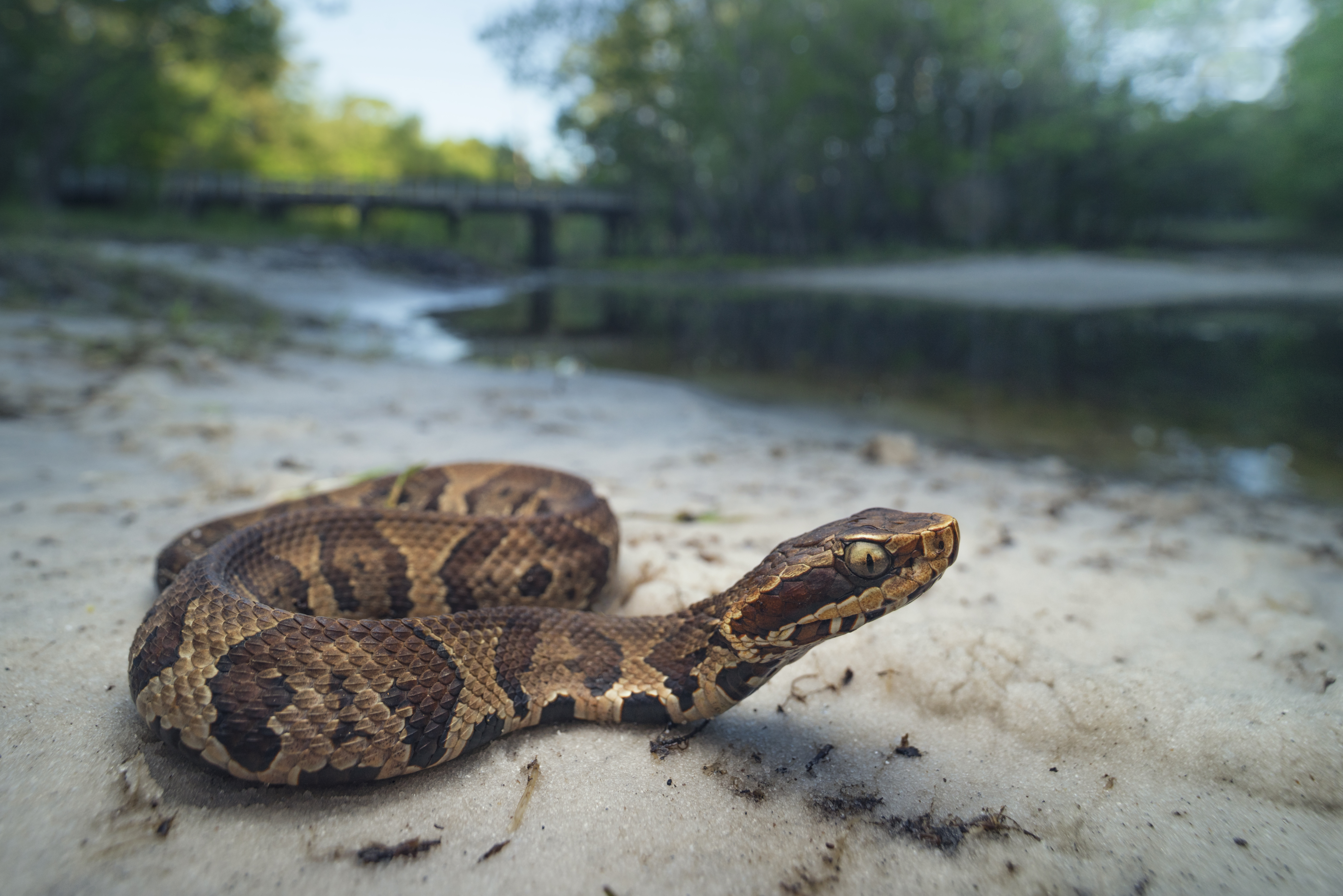 How to Identify a Water Moccasin