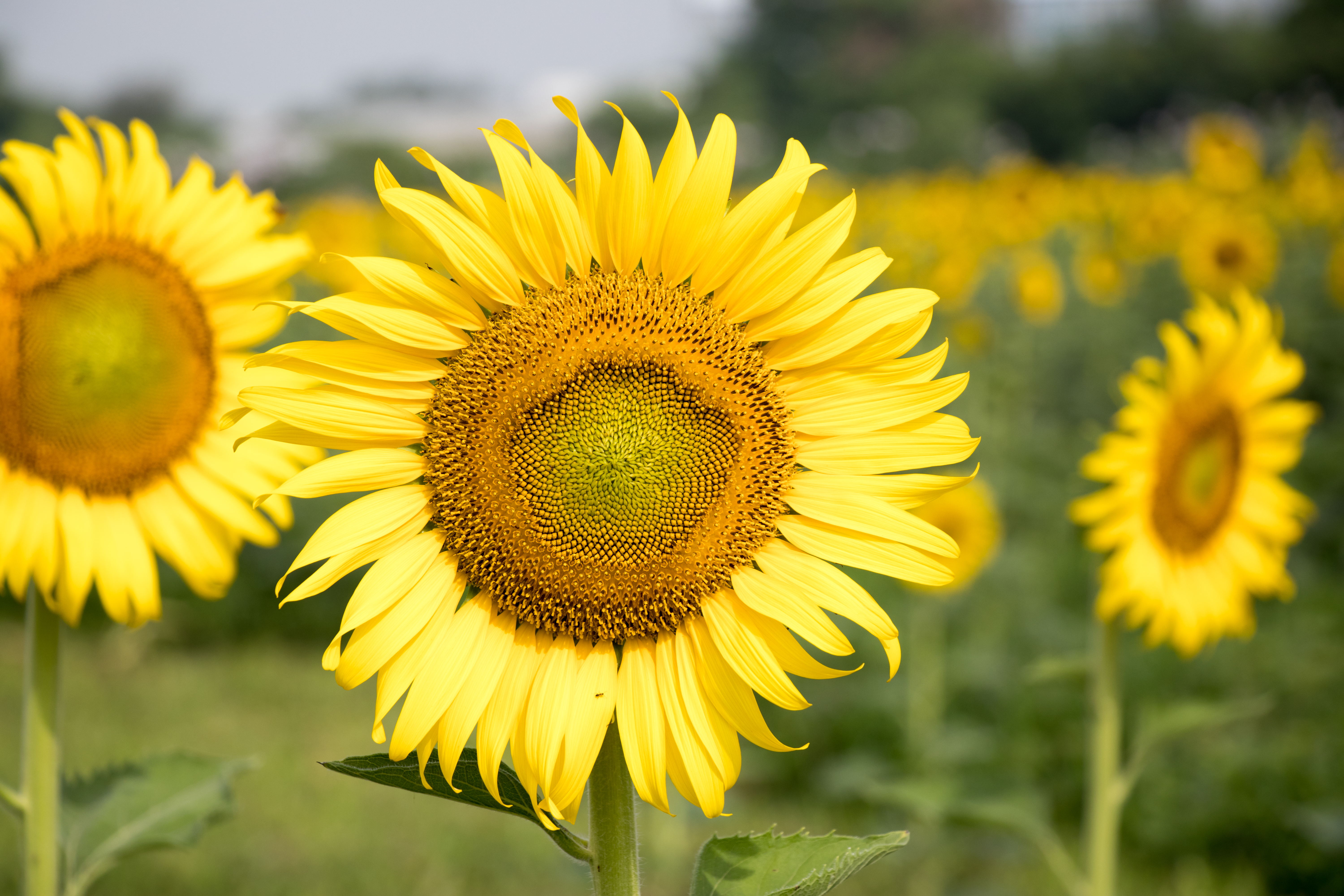 09753f2e7 What Should You Do With Sunflowers After They Bloom? | Home Guides ...