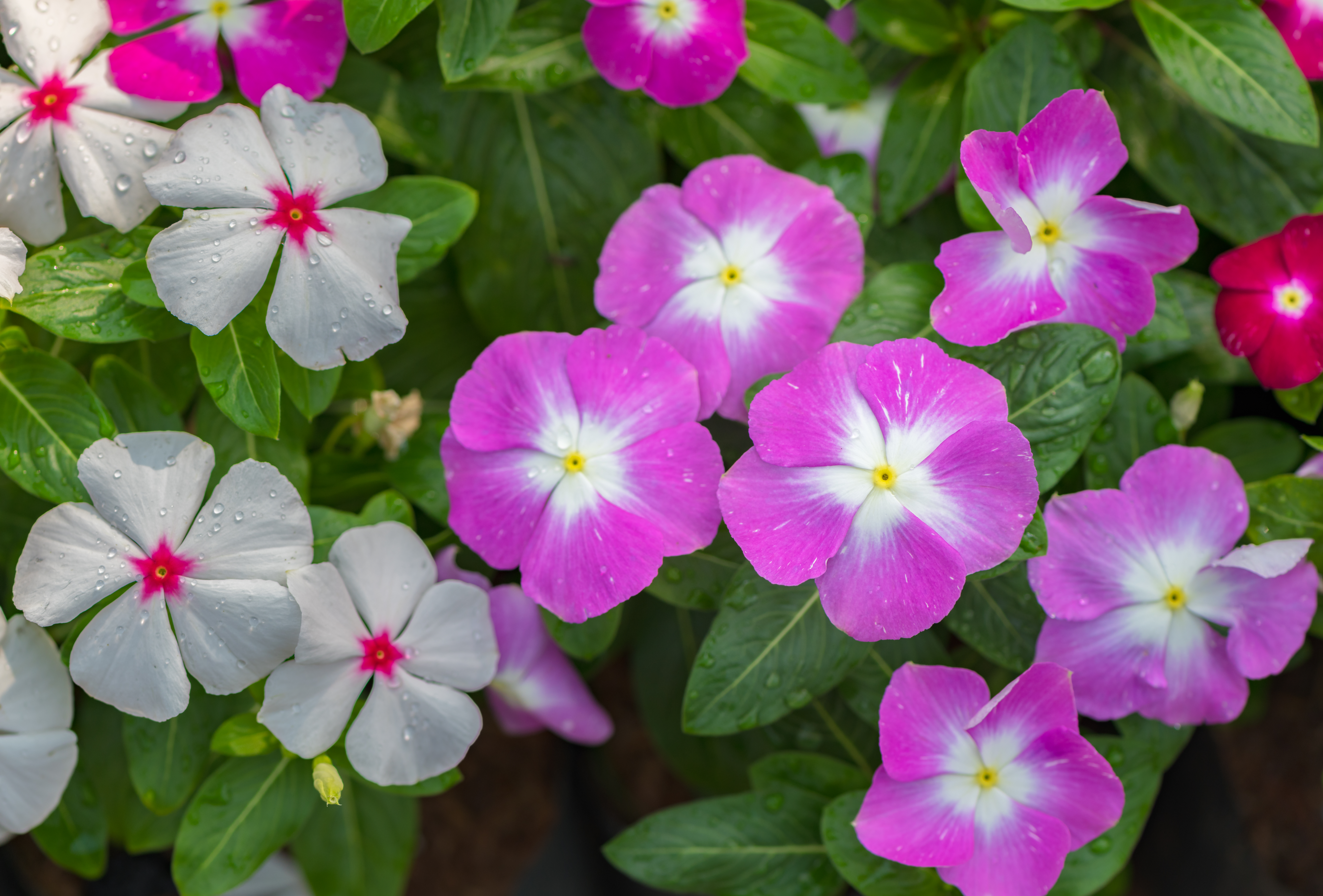 How To Plant And Grow Vinca | Hunker